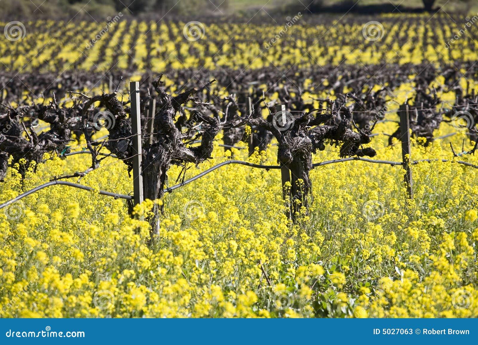 Blommar senapsgultt Napa Valley för druvan vines