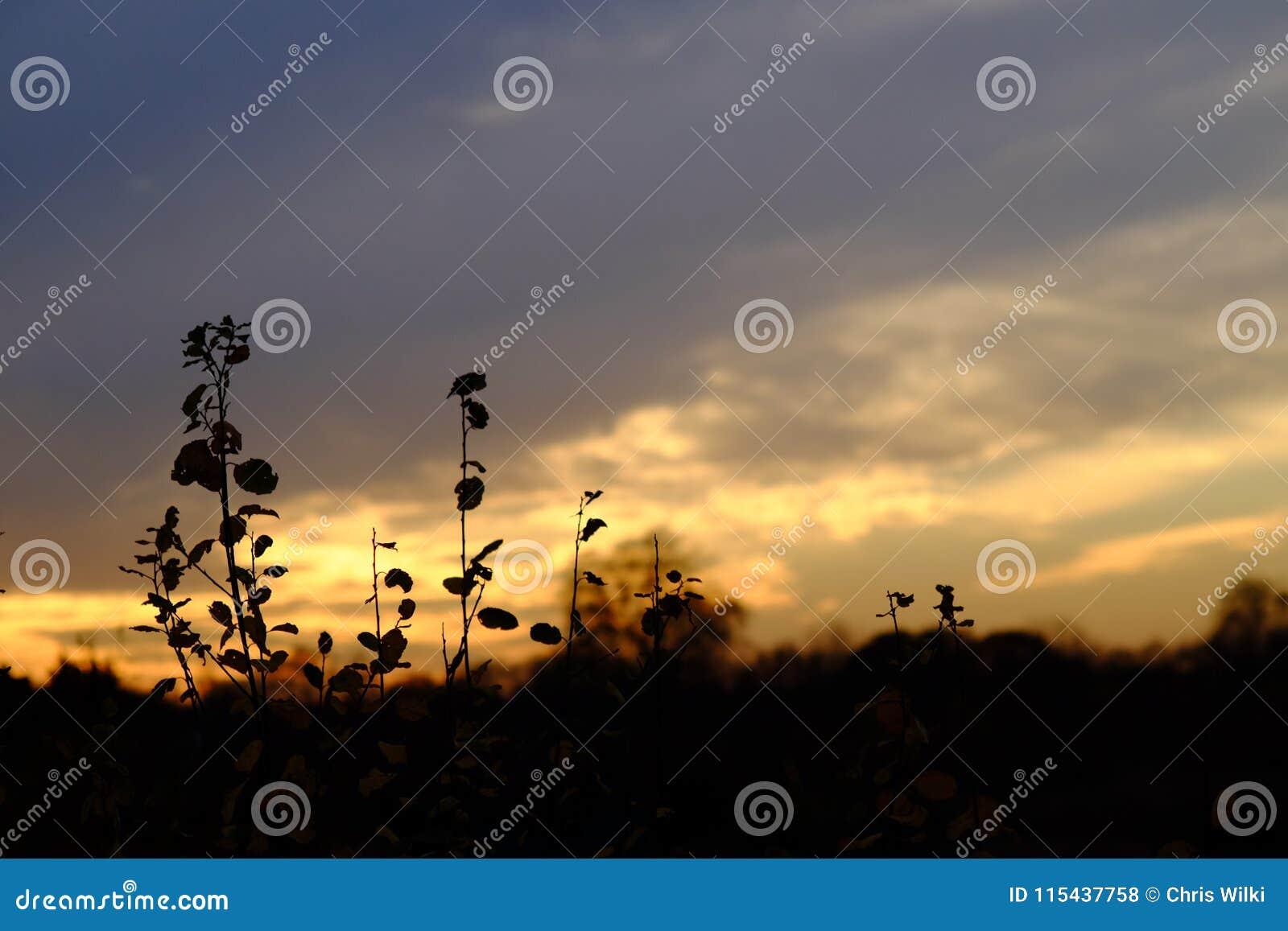 Blommar solnedgång