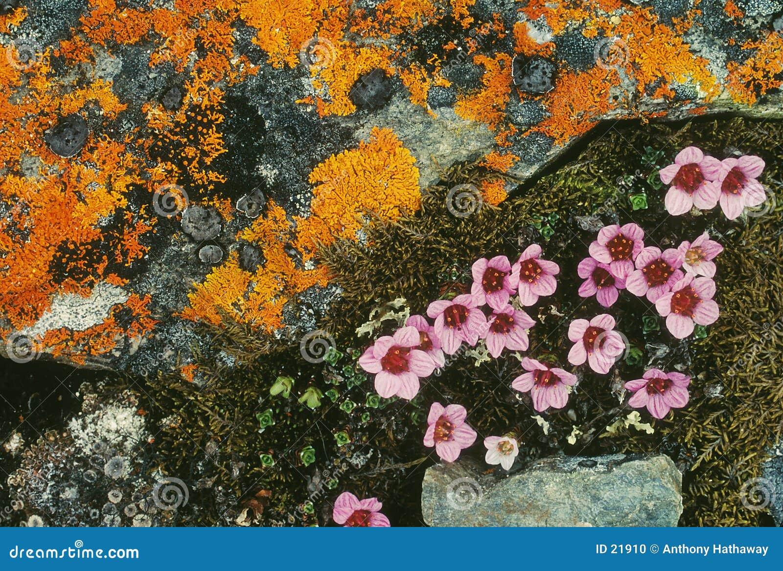 Blommar tundraen