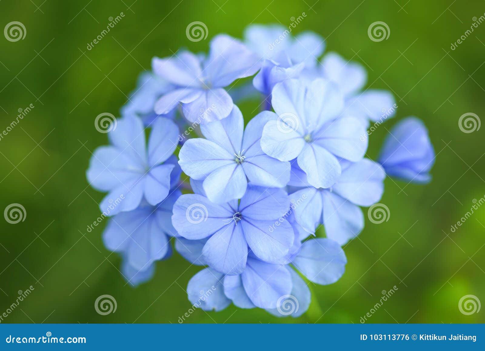 Blommar violeten