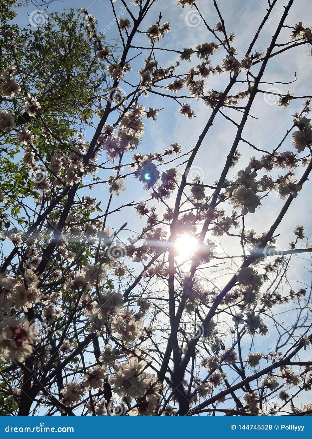 Blommar white V?rtr?d, solljus, effekt, solstr?le, som bakgrund ?r, kan filialen anv?nd blomning ny livstid sun f?r bl? sky Tapet