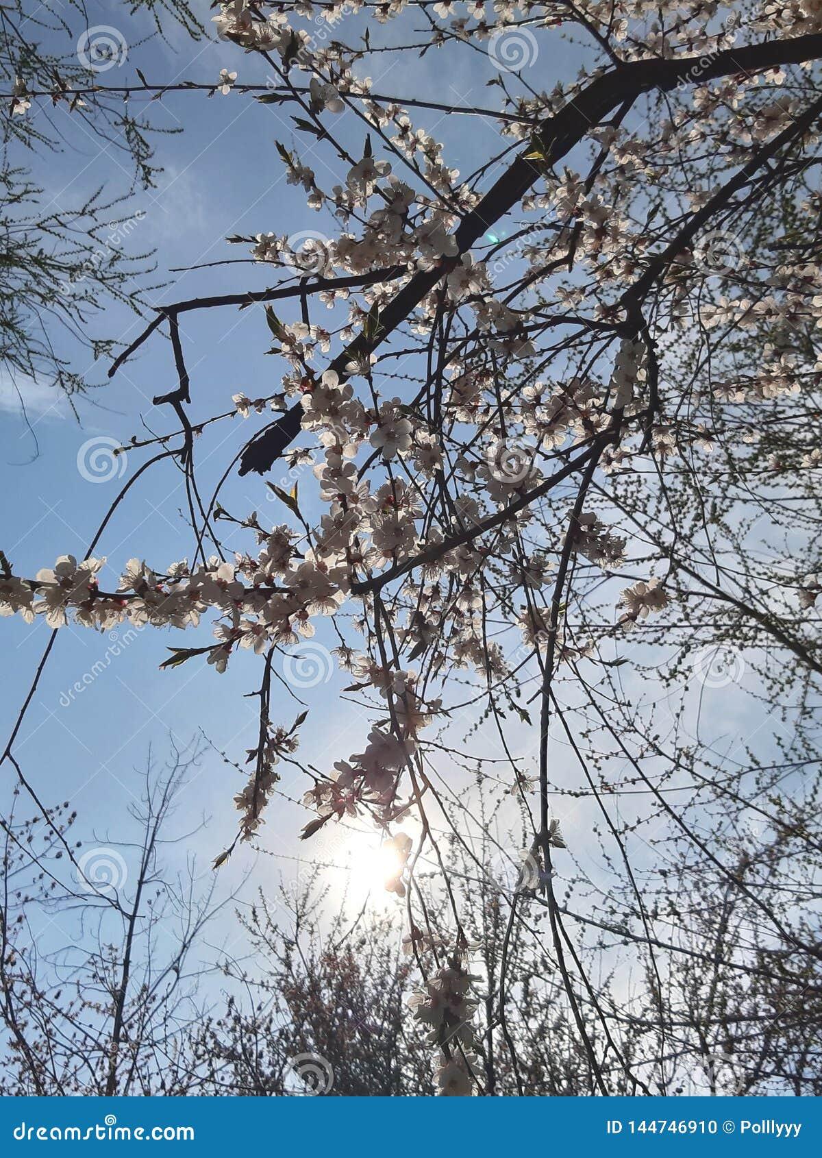 Blommar white V?rtr?d, solljus som bakgrund ?r, kan filialen anv?nd blomning ny livstid sun f?r bl? sky Tapetblommabakgrund ljusa