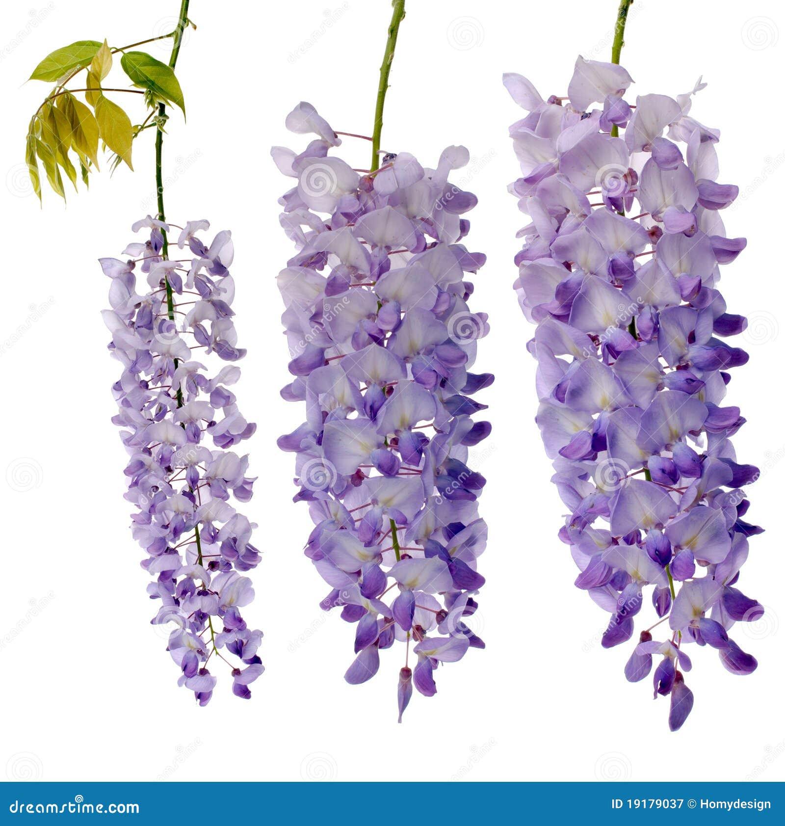 Blommar wisteria royaltyfri fotografi bild 19179037 for Glicine disegno