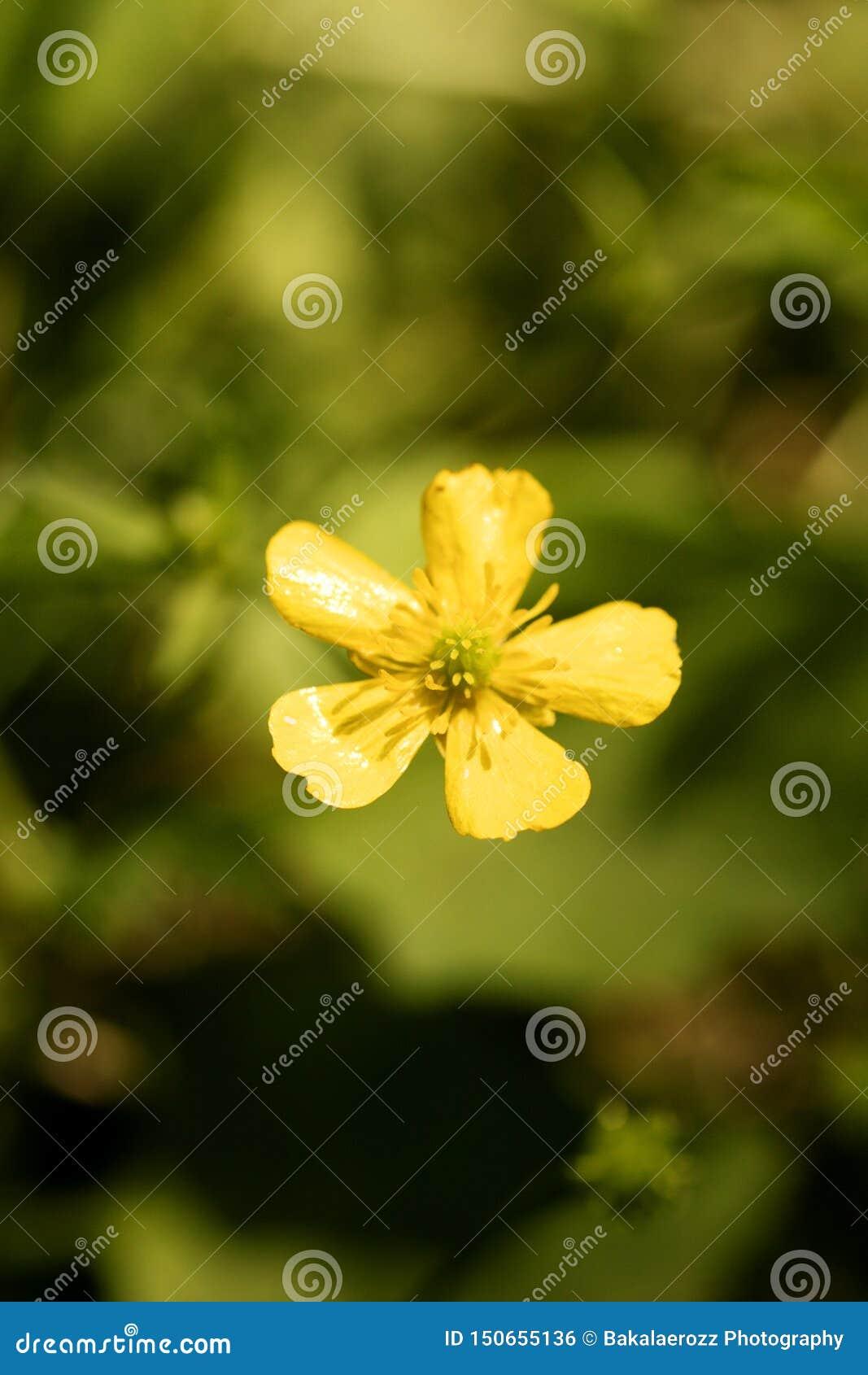 Blommaranunculusrepens eller för Ranunculaceaefamilj för krypa smörblomma konst för bakgrund för makro i högkvalitativa tryckprod