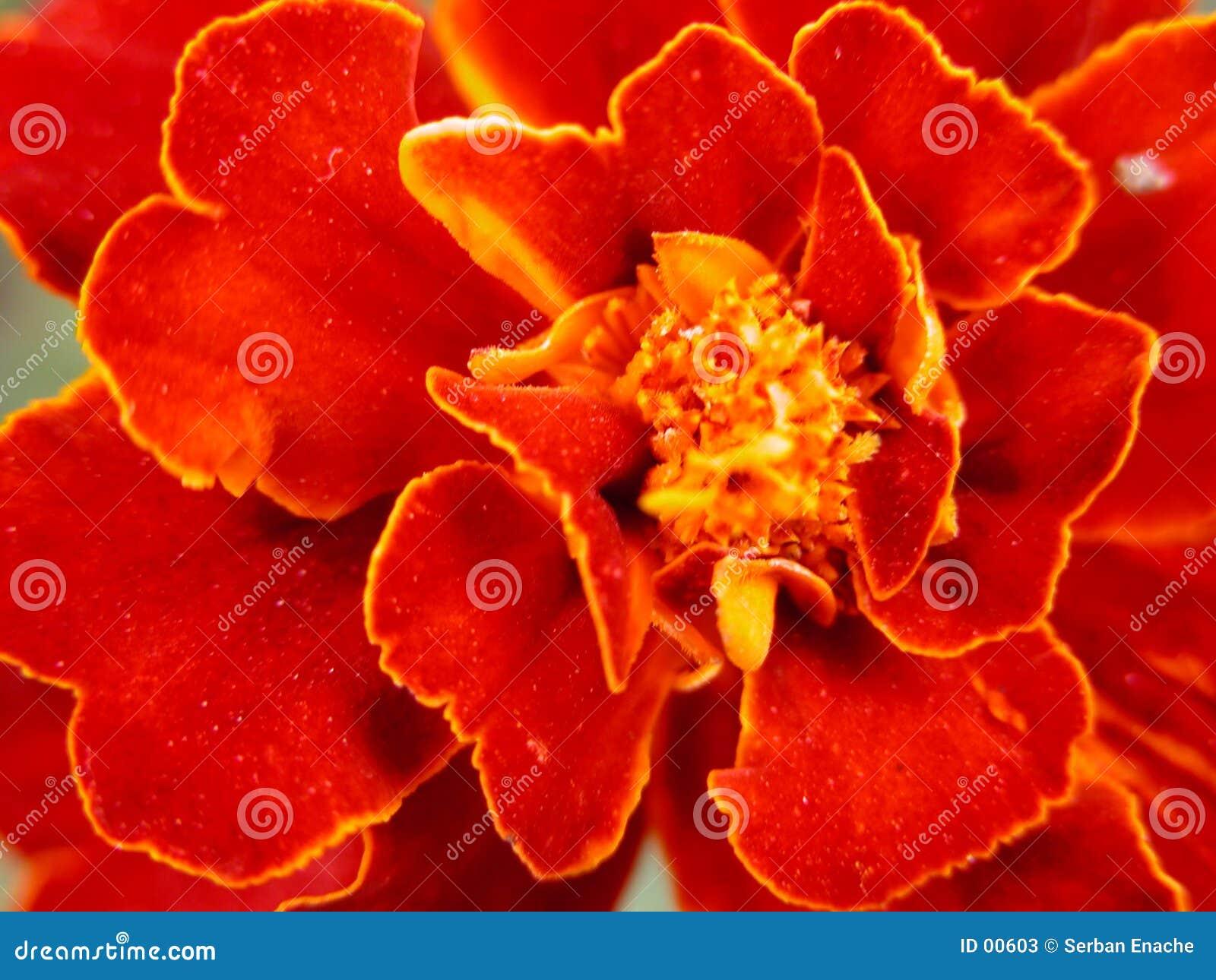 Blommared