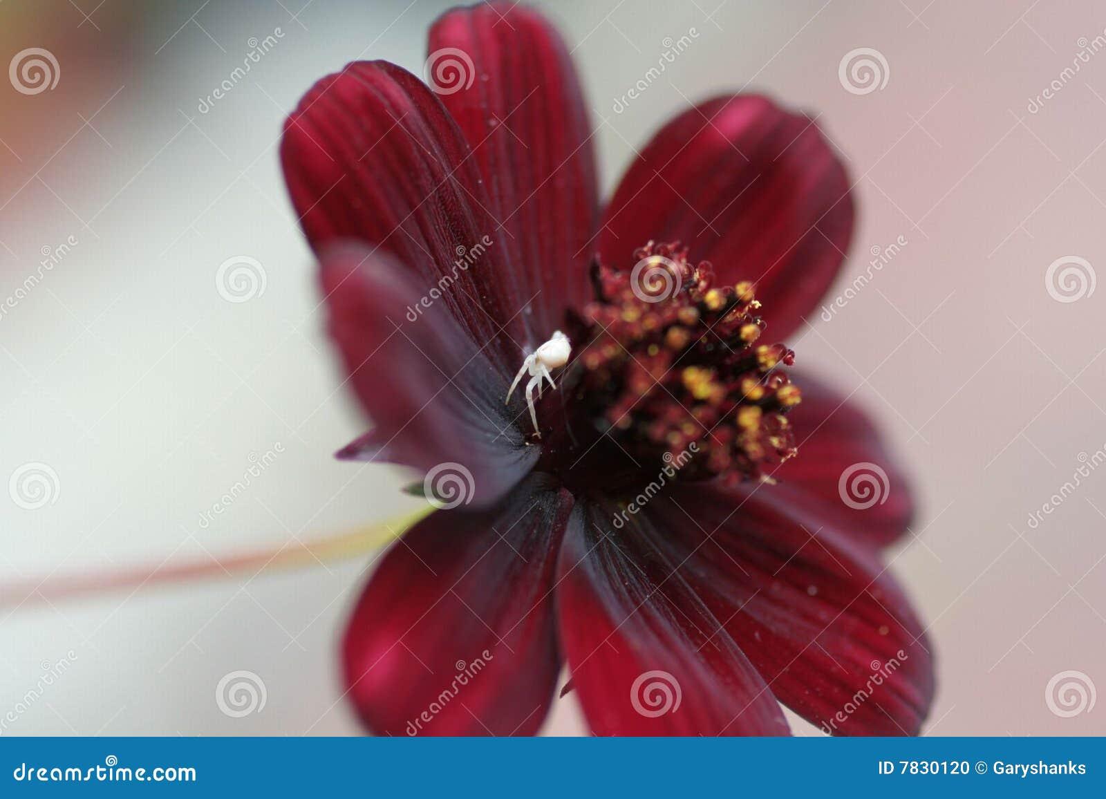 Blommaspindel