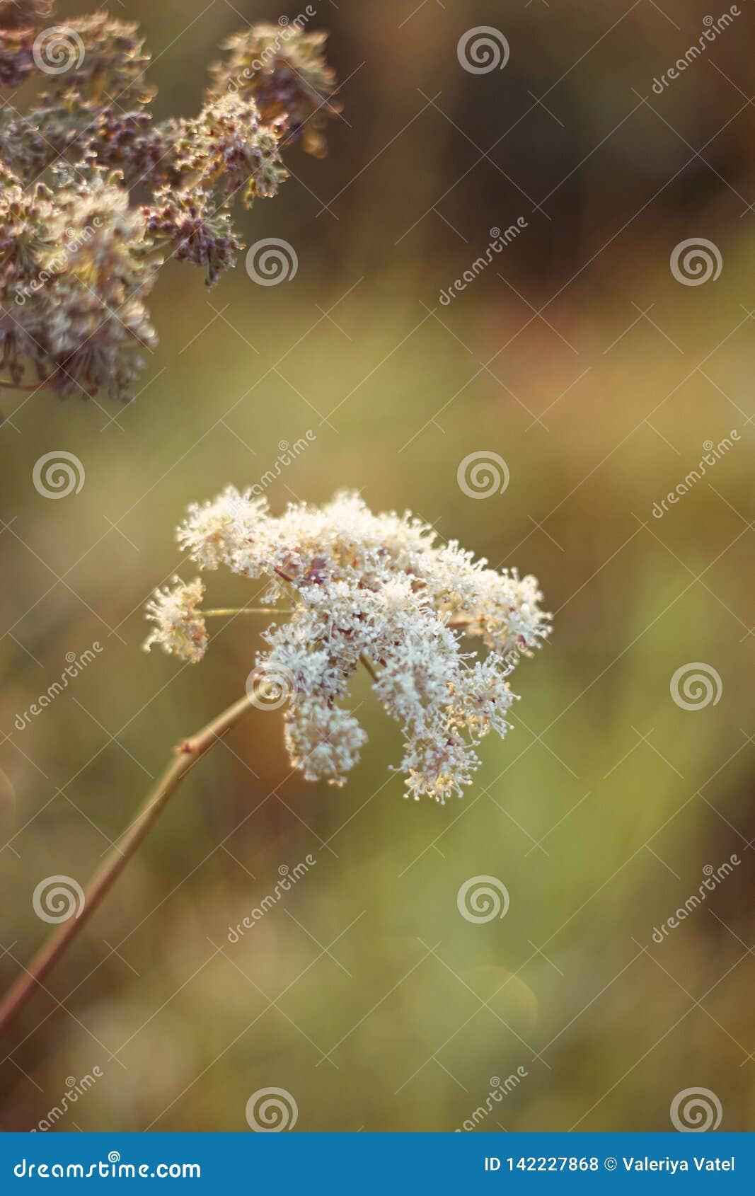 Blommor av den lösa moroten växer på det soliga sommarfältet