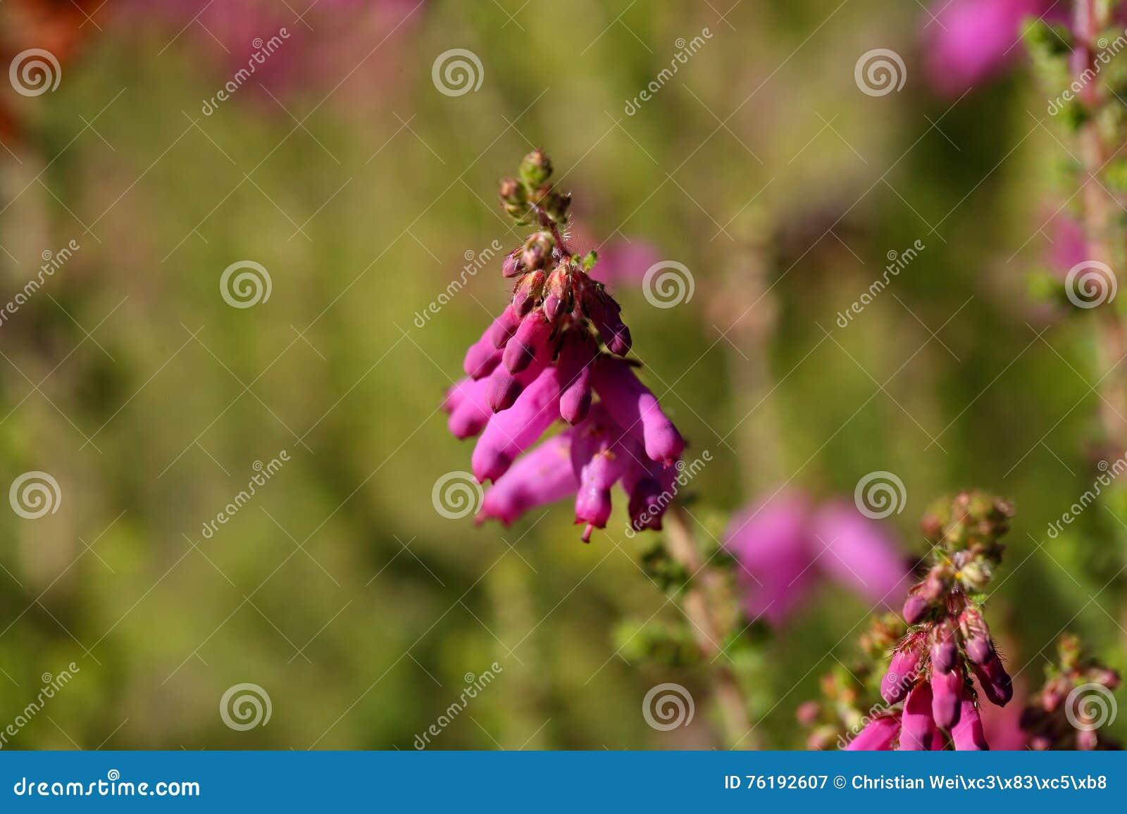 Blommor av en Dorset hed