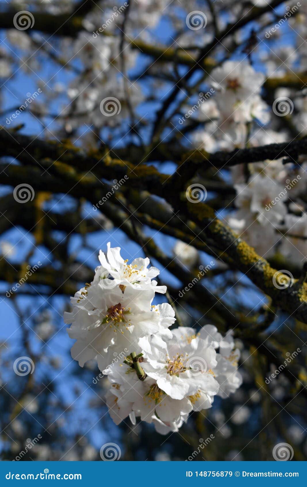 Blommor av mandeln i vinter