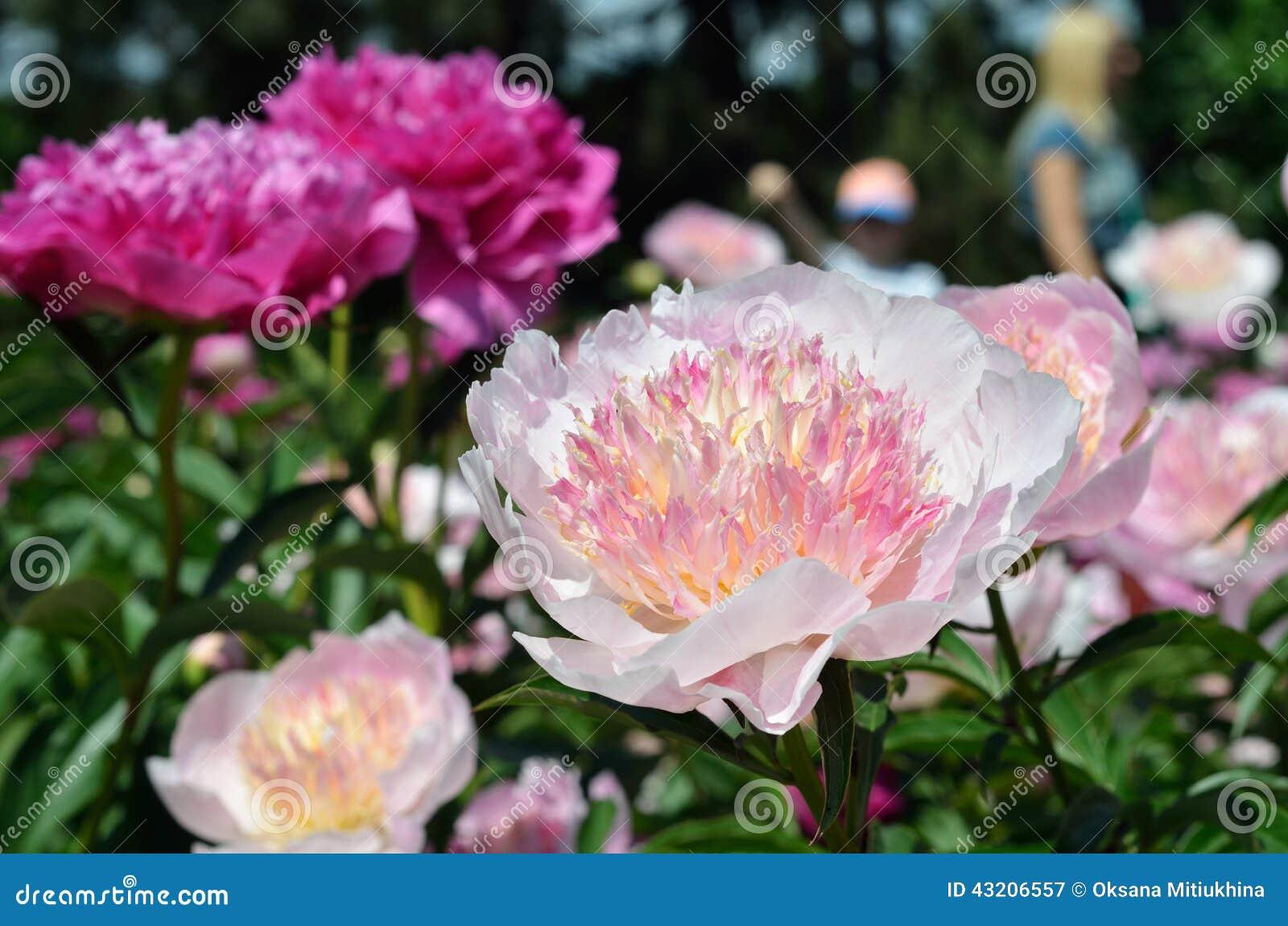Download Blommor av pionen fotografering för bildbyråer. Bild av brigham - 43206557