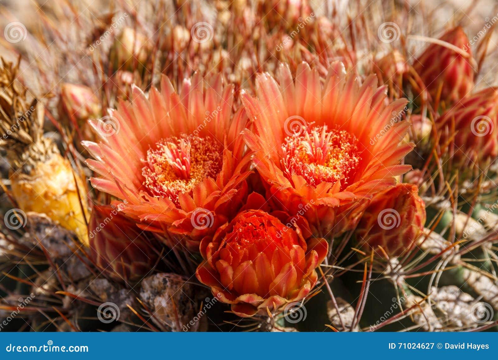 Blommor för Arizona trummakaktus