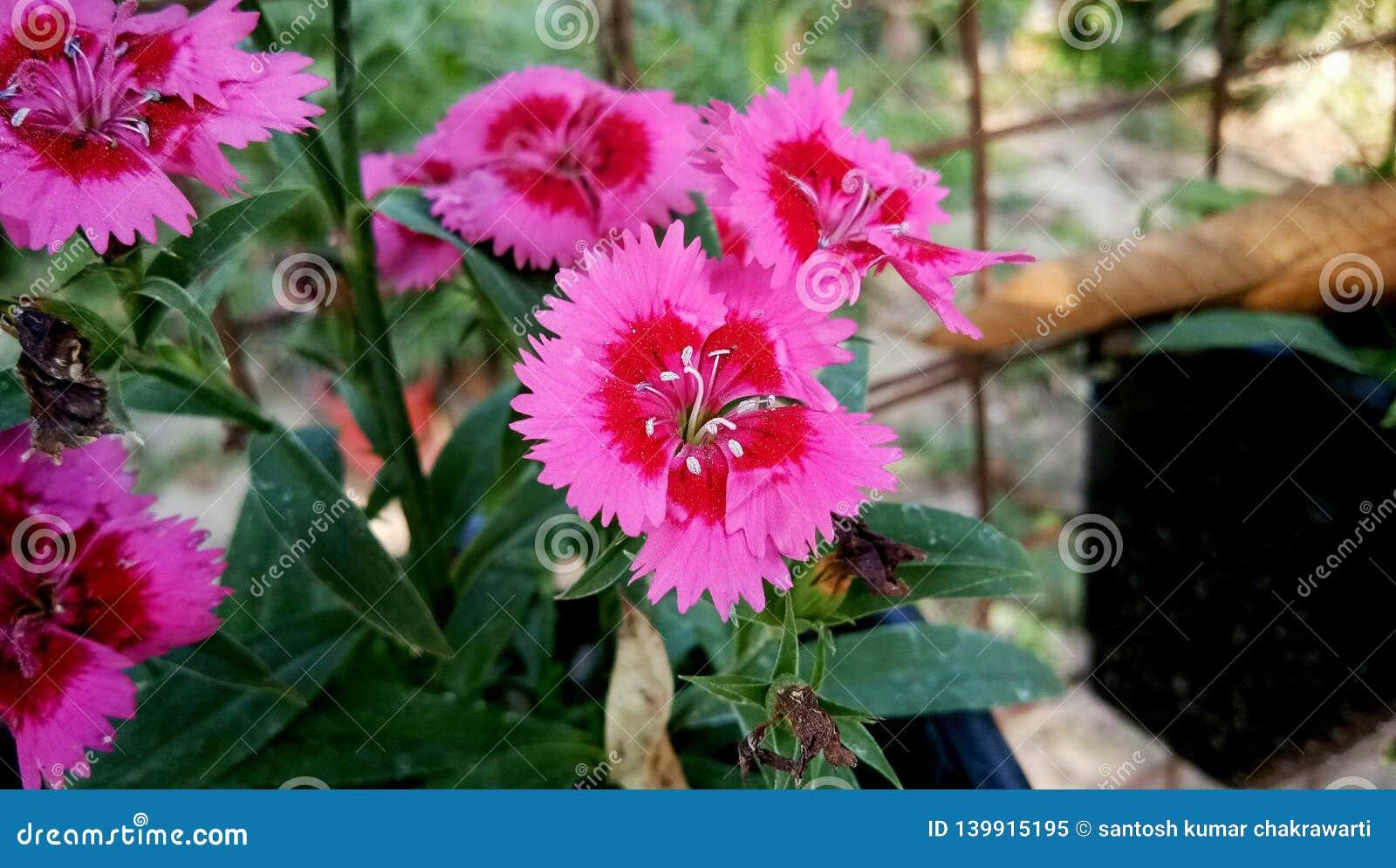 Blommor för asiaticus för Dianthusbarbatusvar röda och rosa blandningfärg
