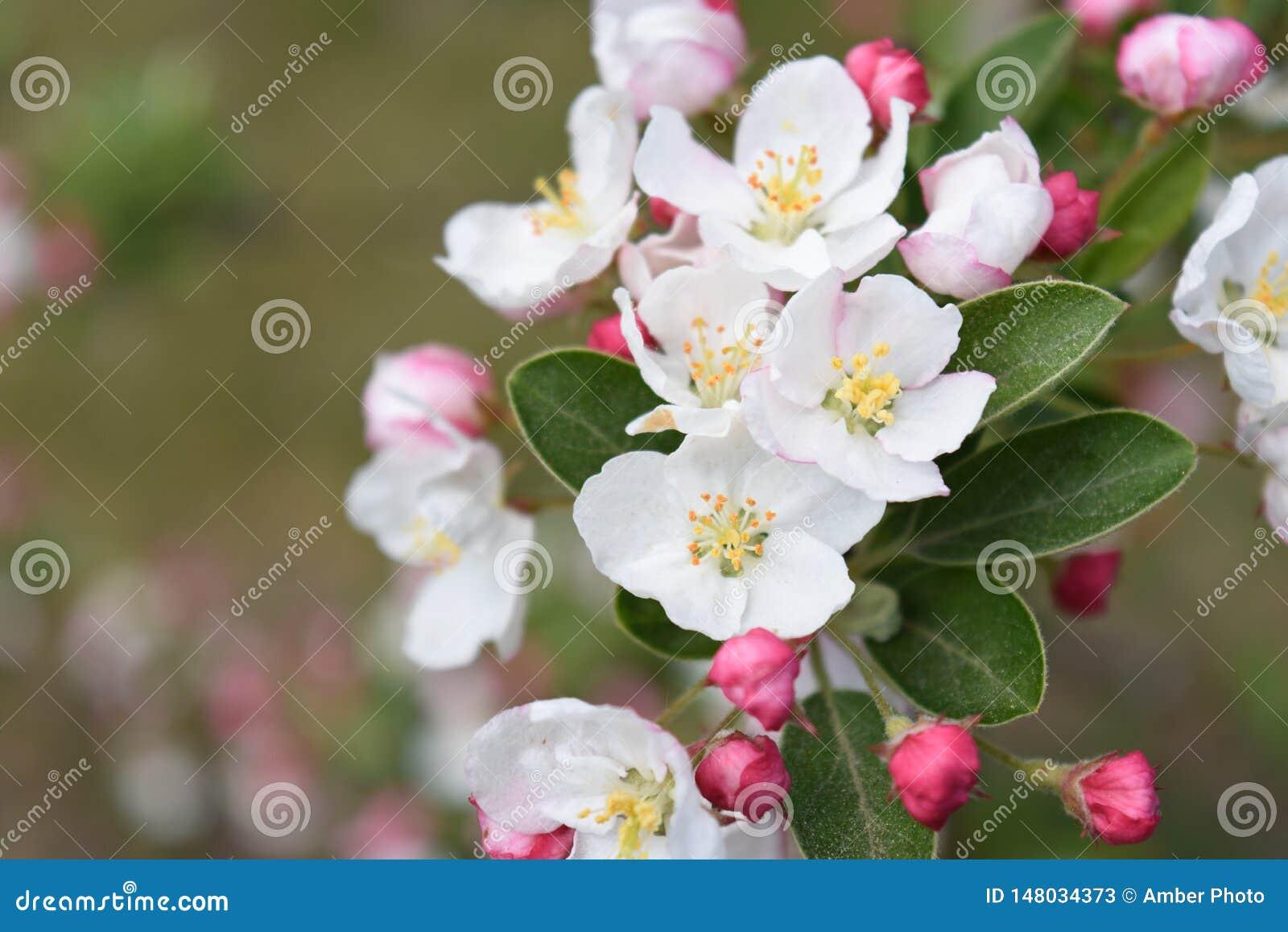 Blommor för blomning för det Apple trädet samlar ihop