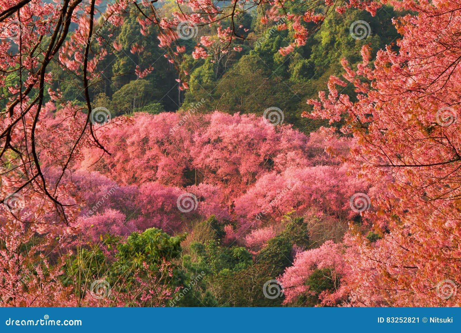 Blommor för körsbärsröd blomning för vårskog