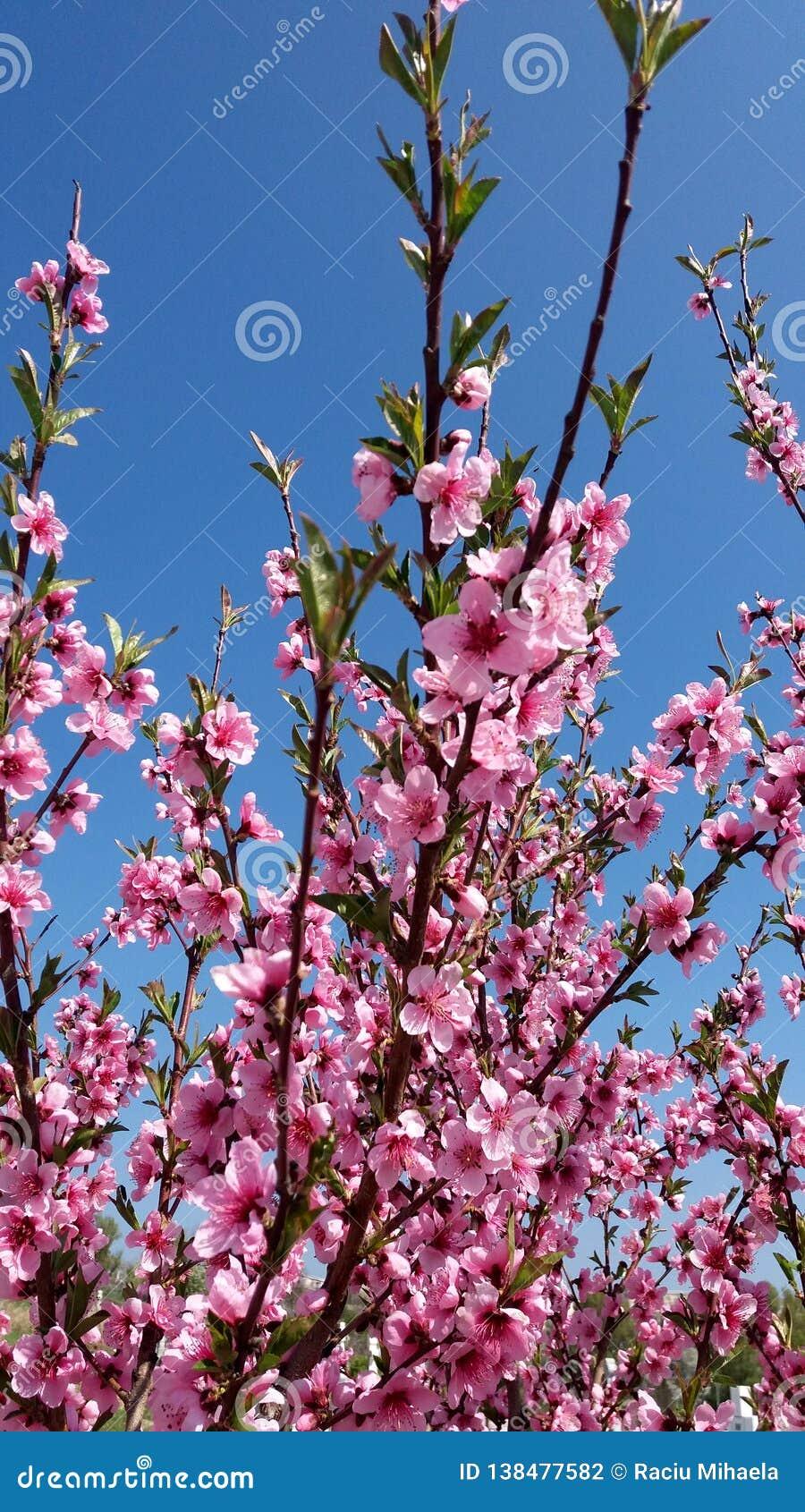 Blommor för persikaträd blommar på bakgrund för blå himmel
