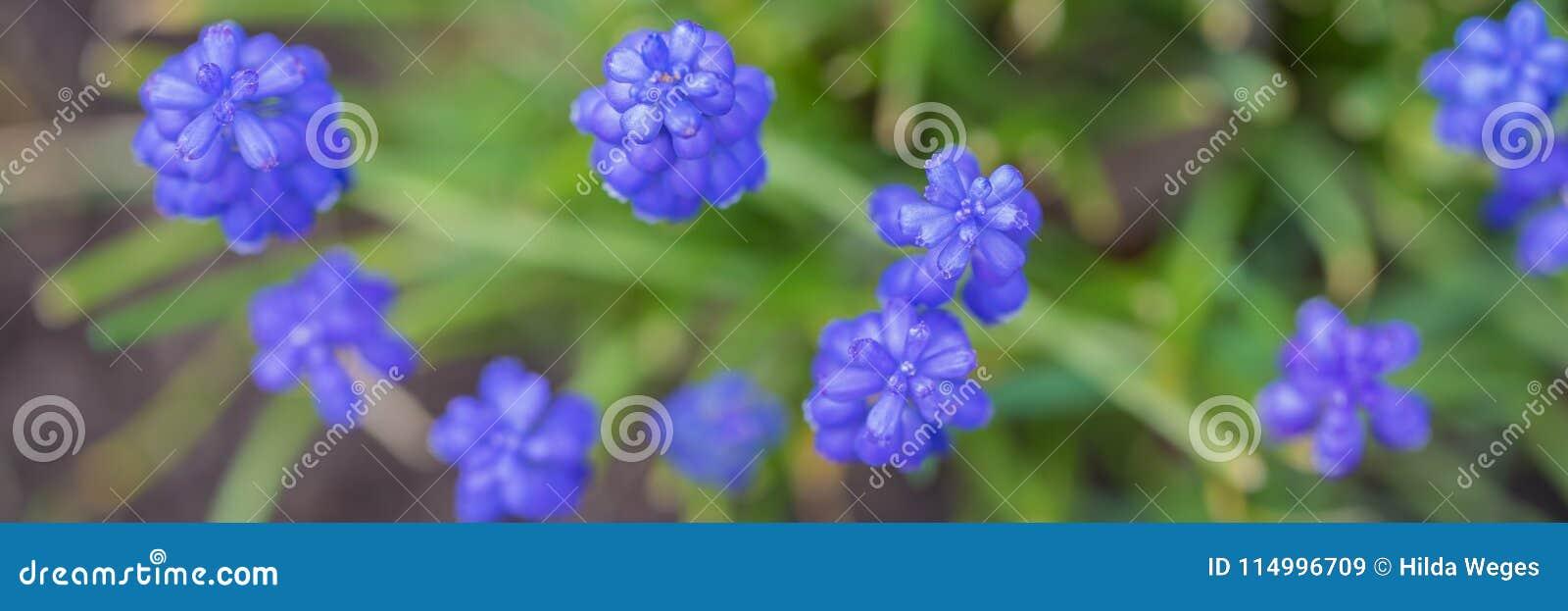 Blommor för rengöringsdukbanermuscari