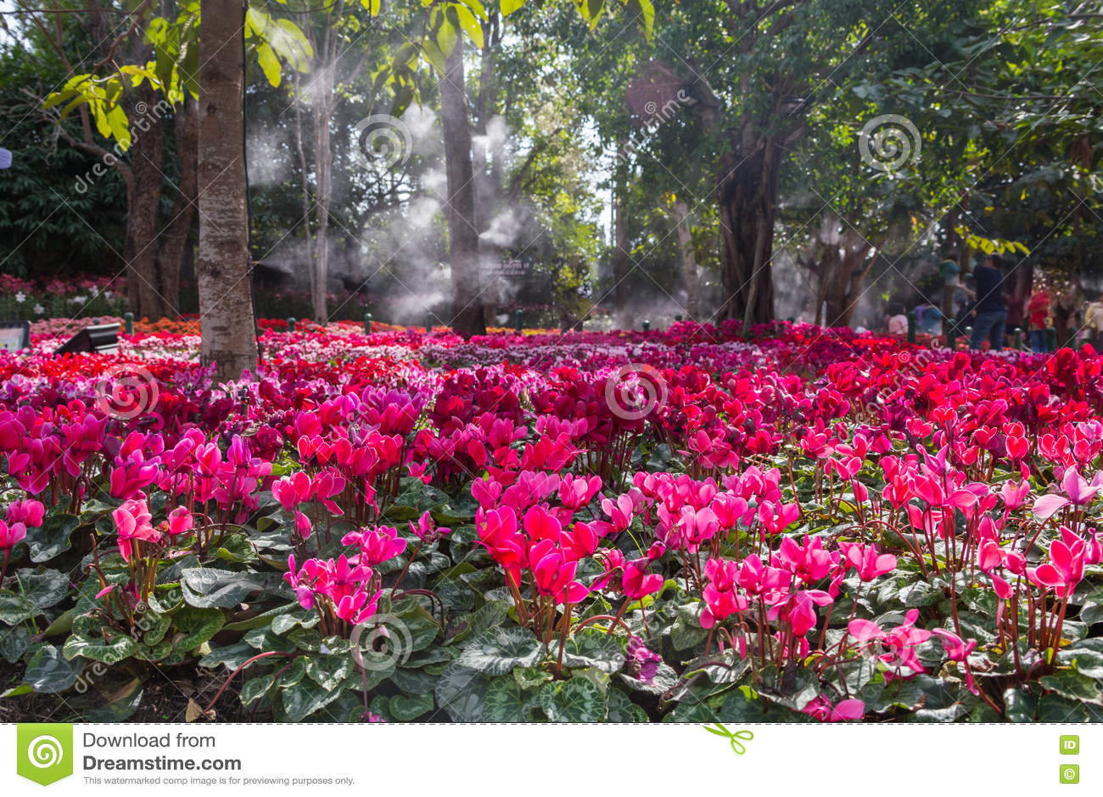 Blommor för rosa färger för pelargoniapelargongrupp ljusa cerise