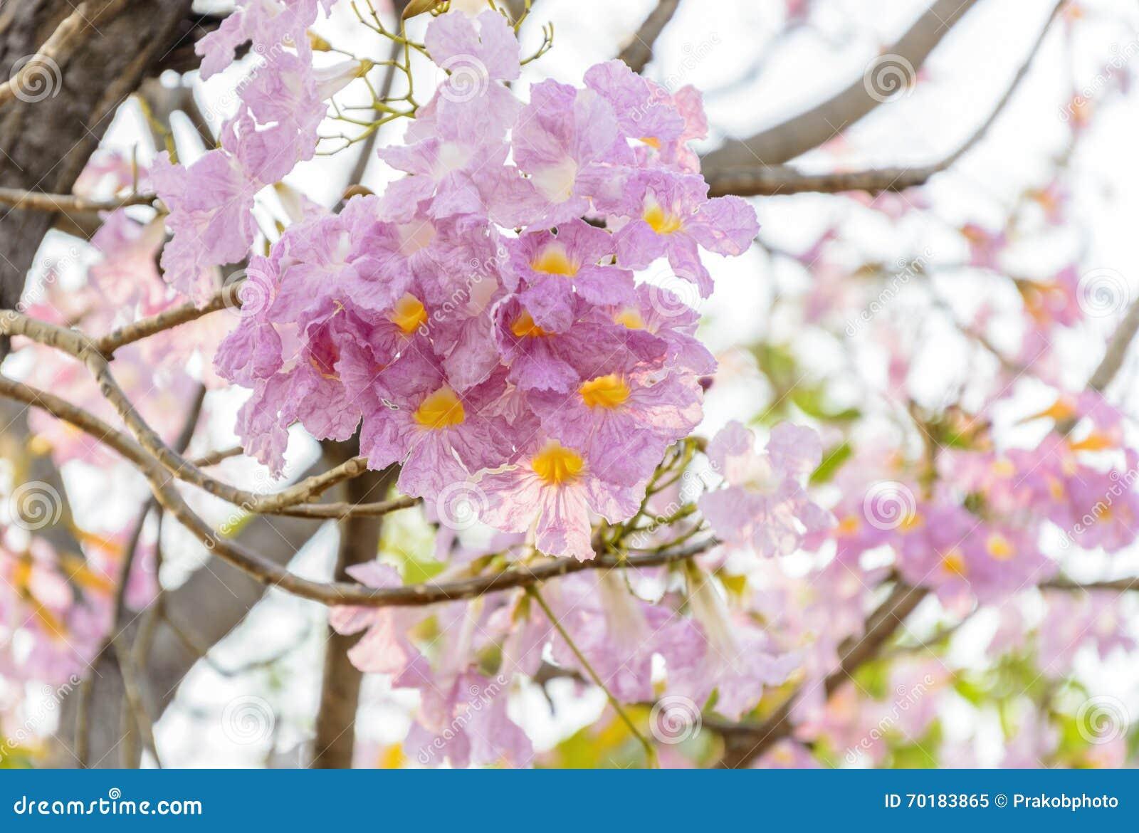 Blommor för Tabebuia rosearosa färger