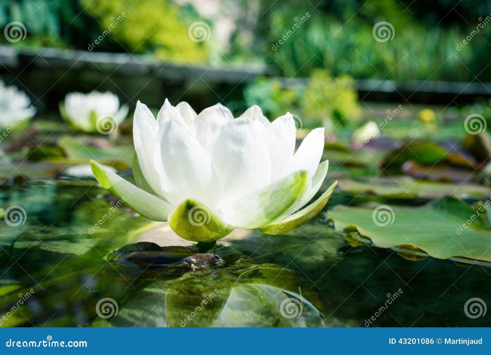 Download Blommor För Vit Lotusblomma I Ett Damm Arkivfoto - Bild av näckros, växt: 43201086