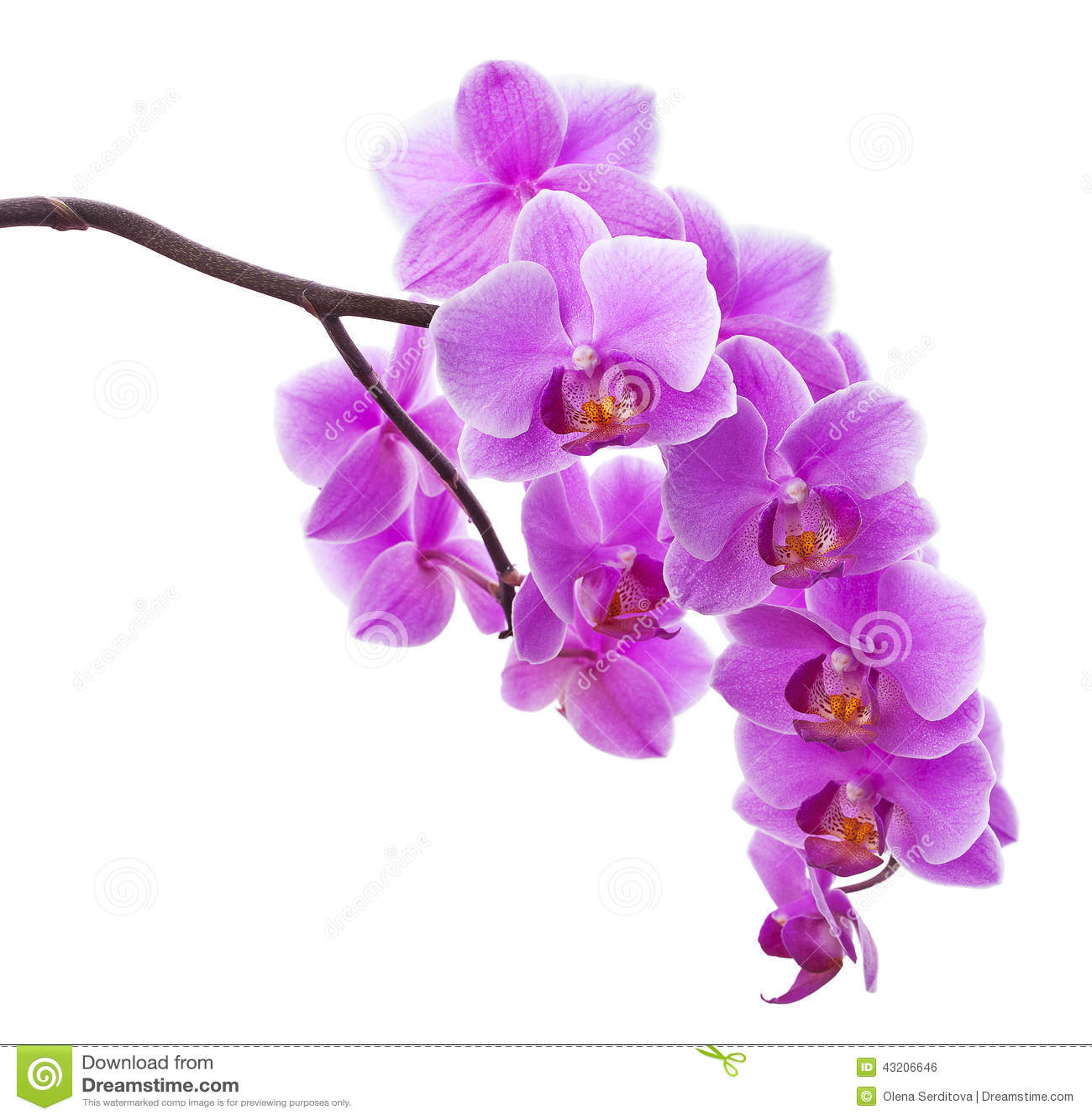 Download Blommor Isolerade Rosa White För Orchid Arkivfoto - Bild av petals, elegans: 43206646