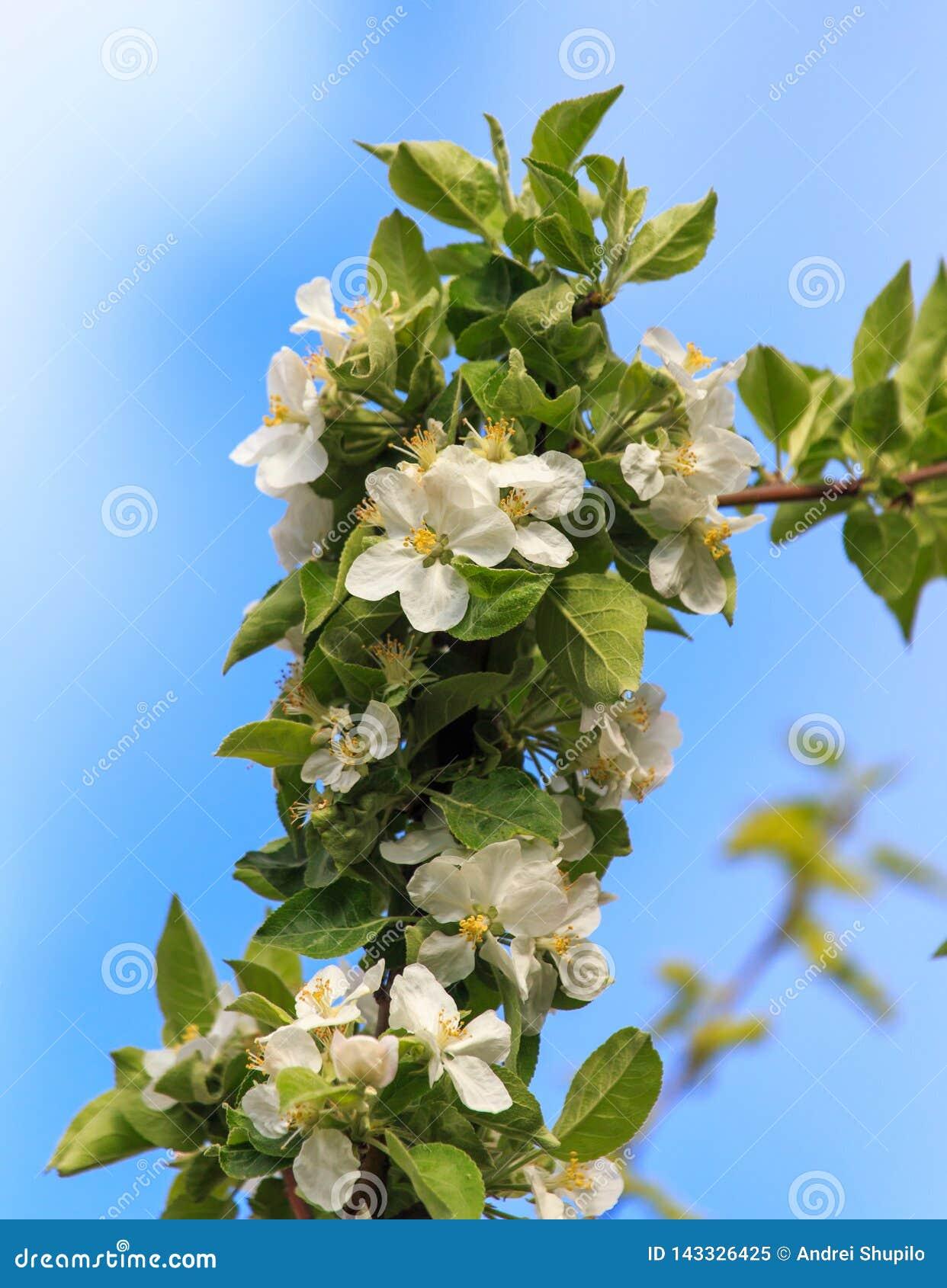 Blommor på ett fruktträd i vår