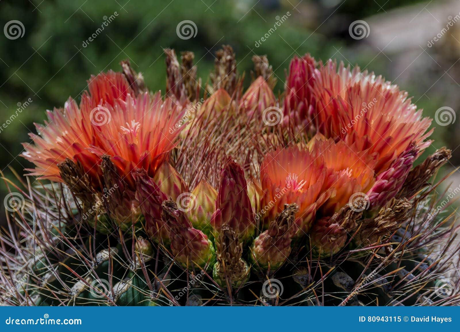 Blommor som blommar på den Arizona trummakaktuns