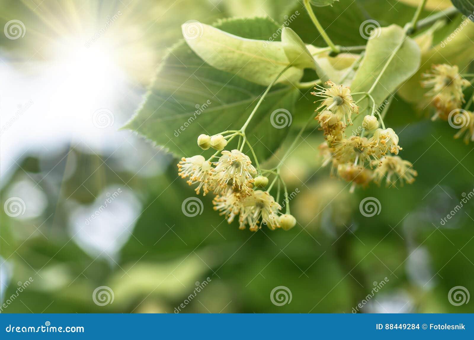 Blommor som blomstrar trädlindträdet, vår
