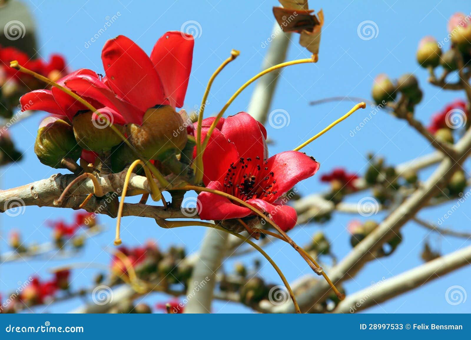 Blomningar av den röda treen för Silk bomull (bombaxen)