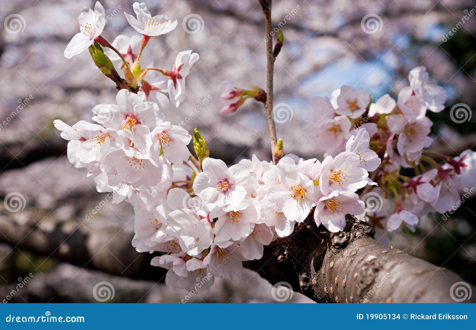 BlomningCherry sakura