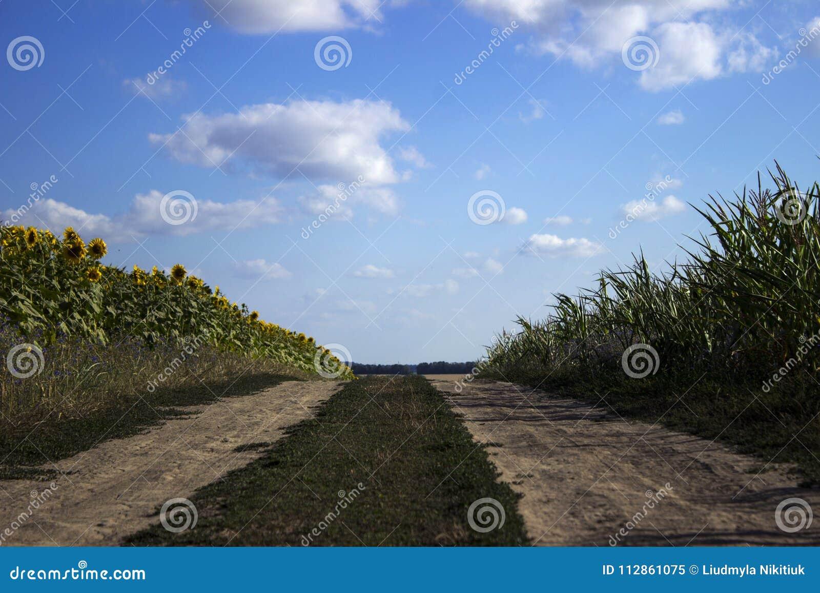 Blomningen av solrosen och mogen havre och vete i ett fält