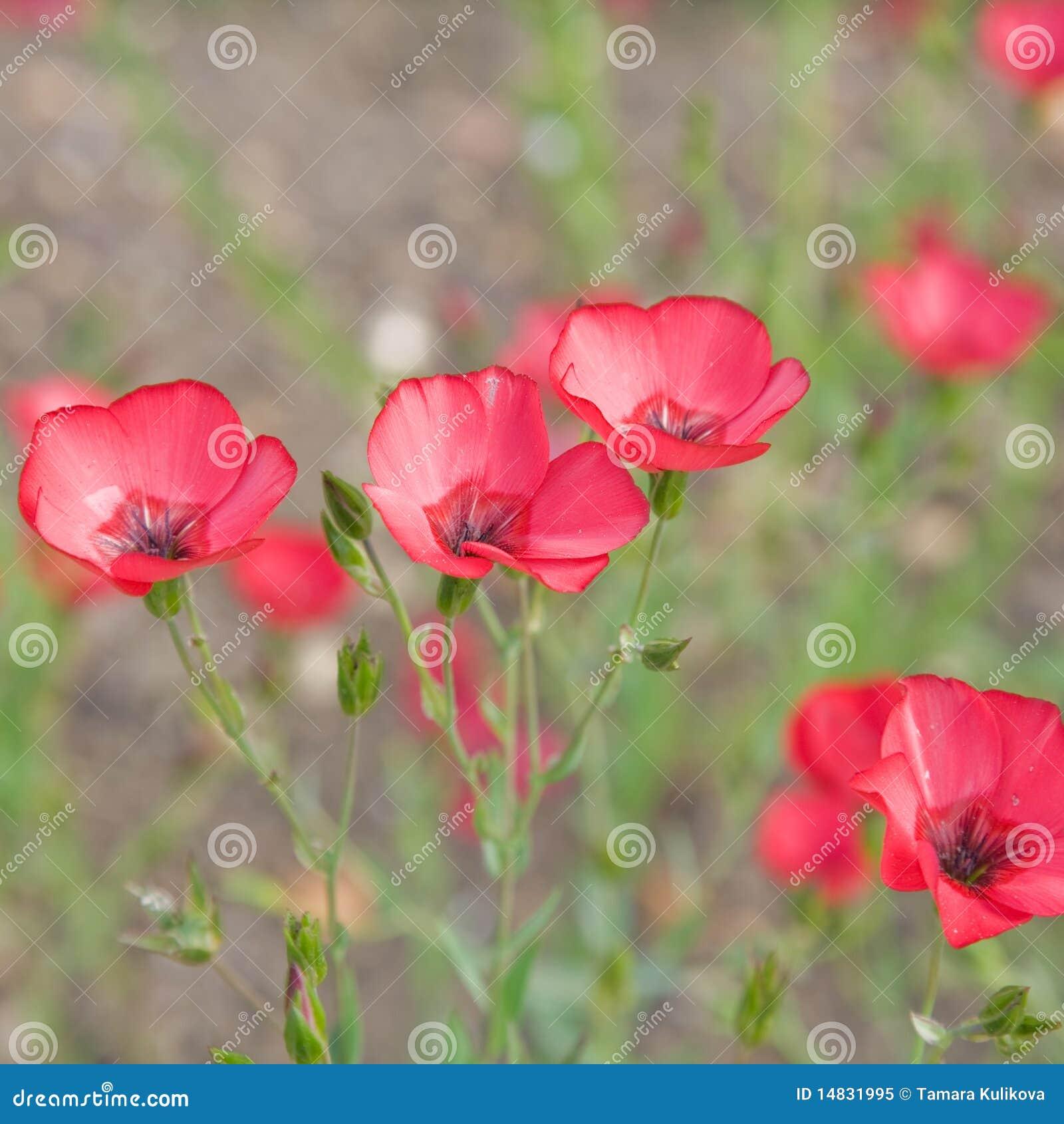 Blomninggrandiflorumlinum