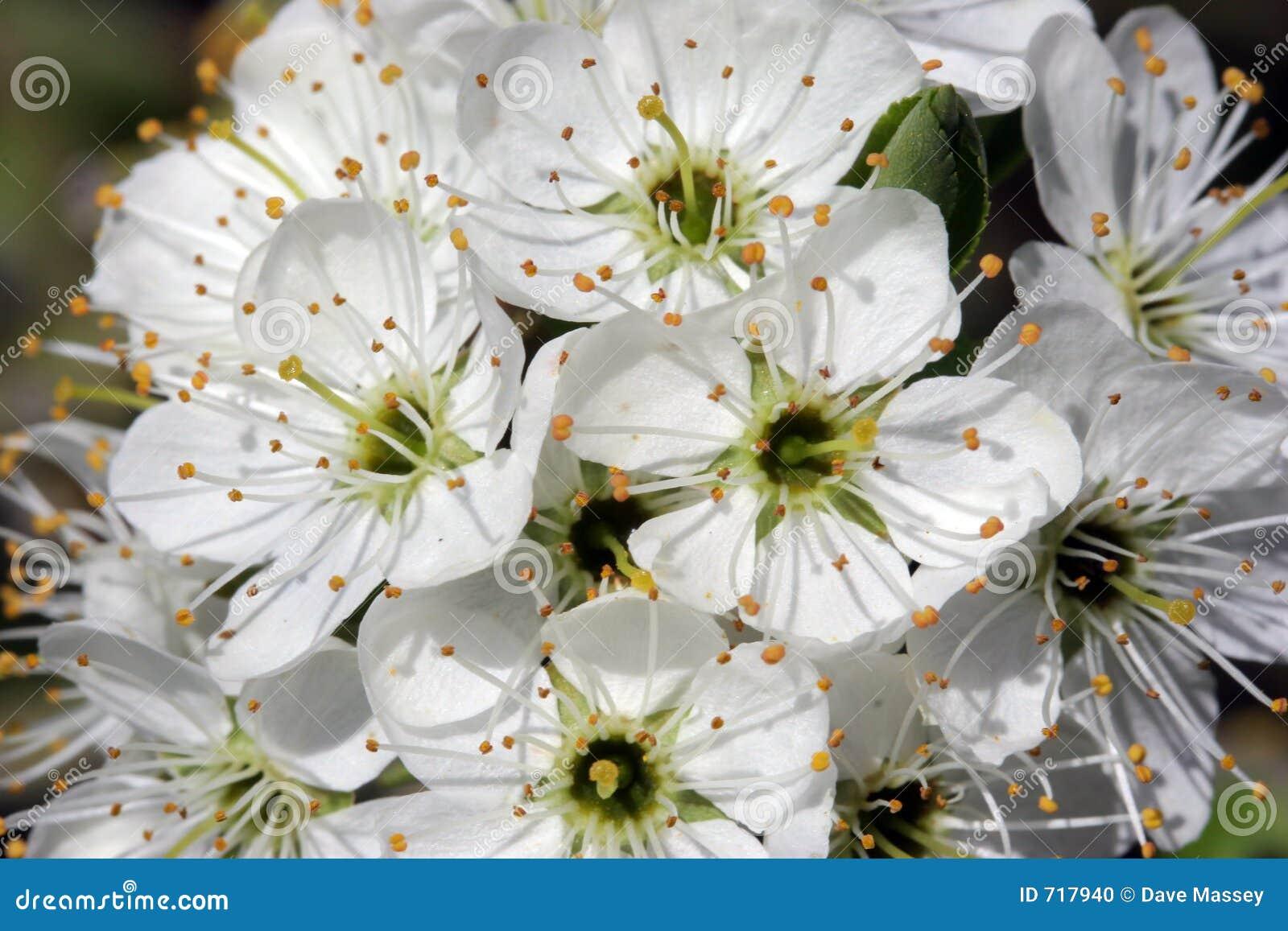 Blomninghagtornsolljus