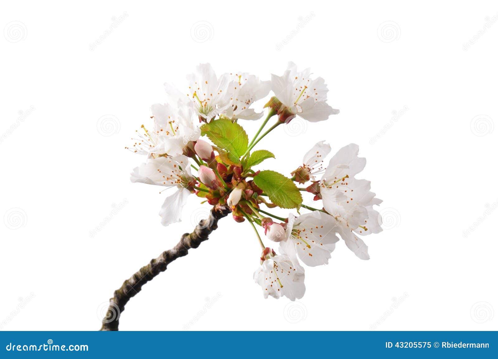 Download Blomningkörsbär (Prunusaviumen) Fotografering för Bildbyråer - Bild av wild, cherry: 43205575