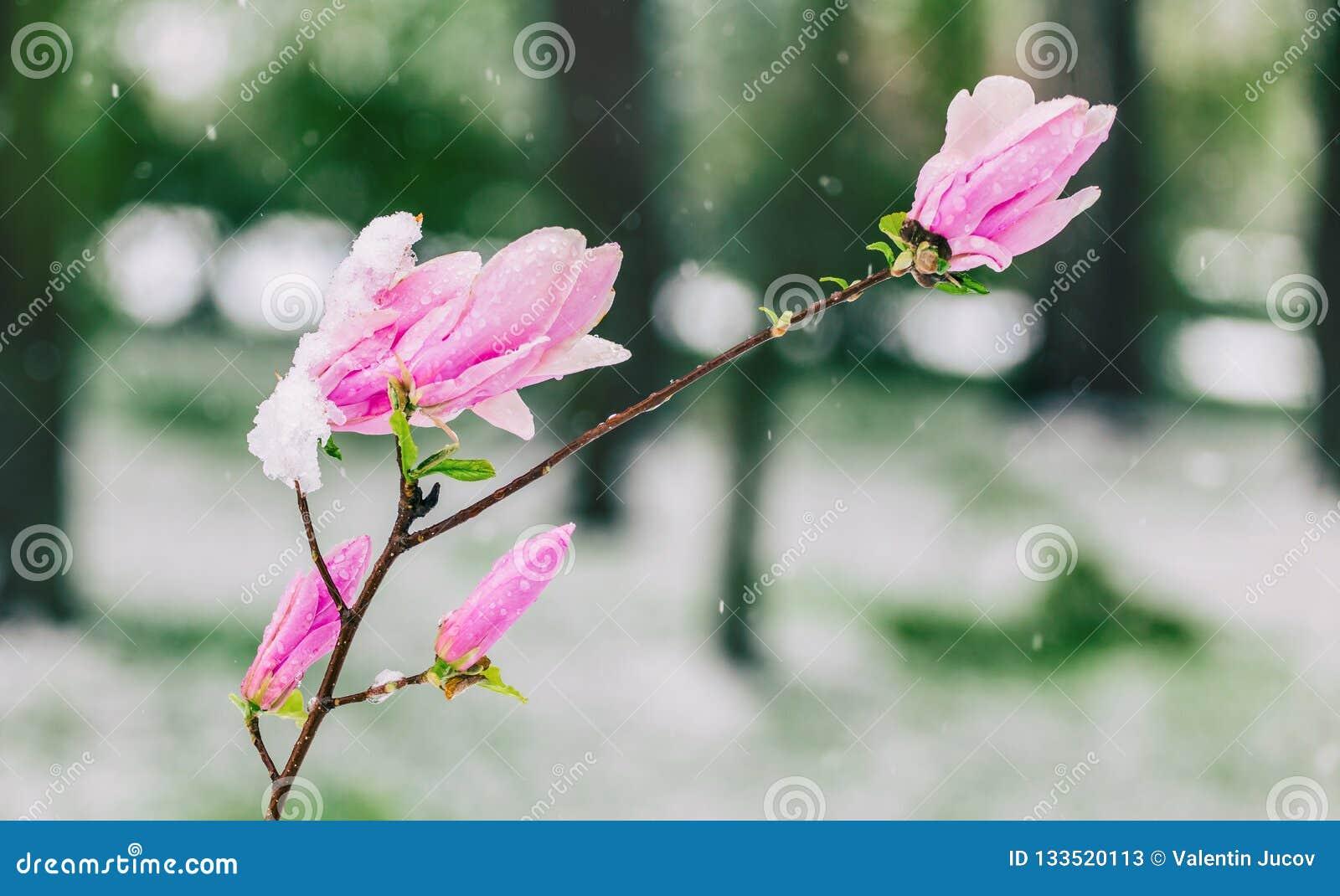 Blomningmagnolior över naturbakgrund Härlig naturplats med det blommande trädet, solen och snö