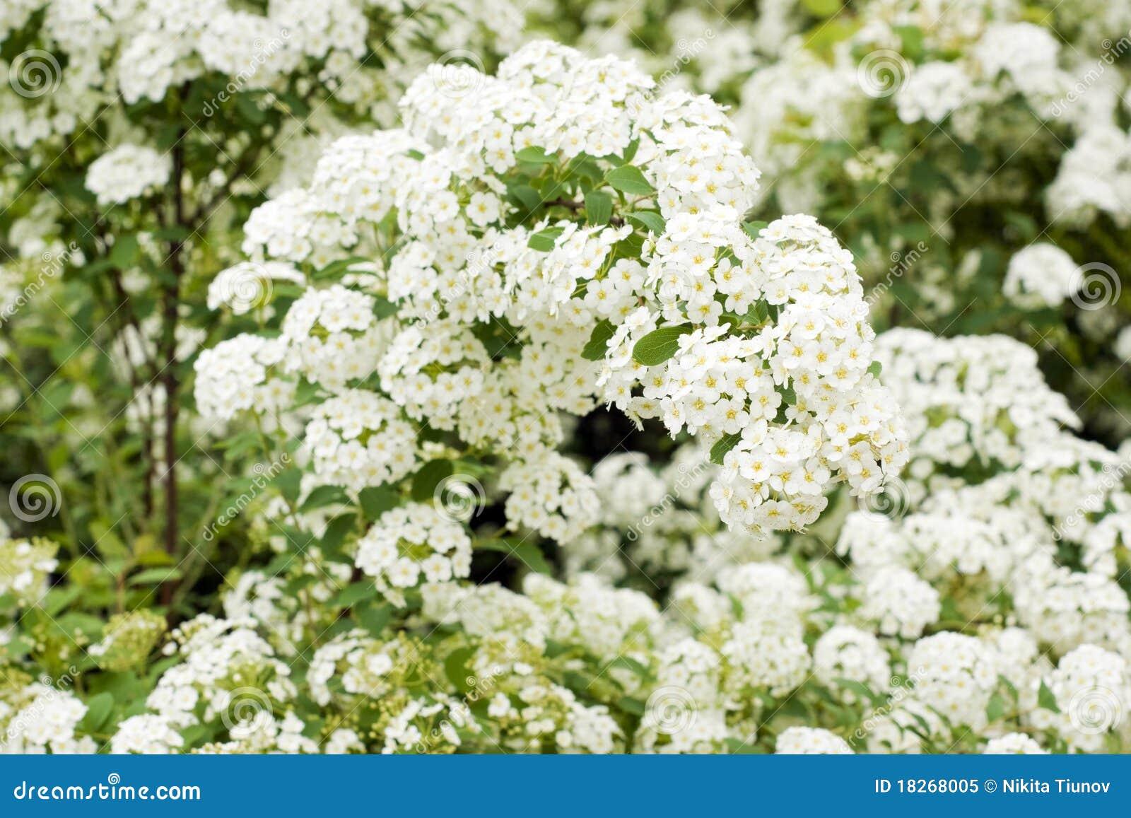 Blomningspiraeawhite