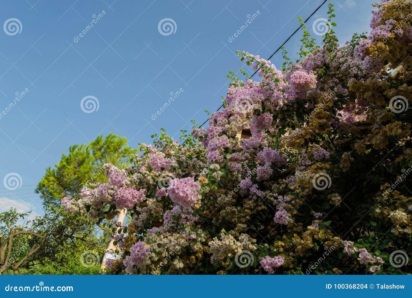 Blomningträd Korfu, Grekland