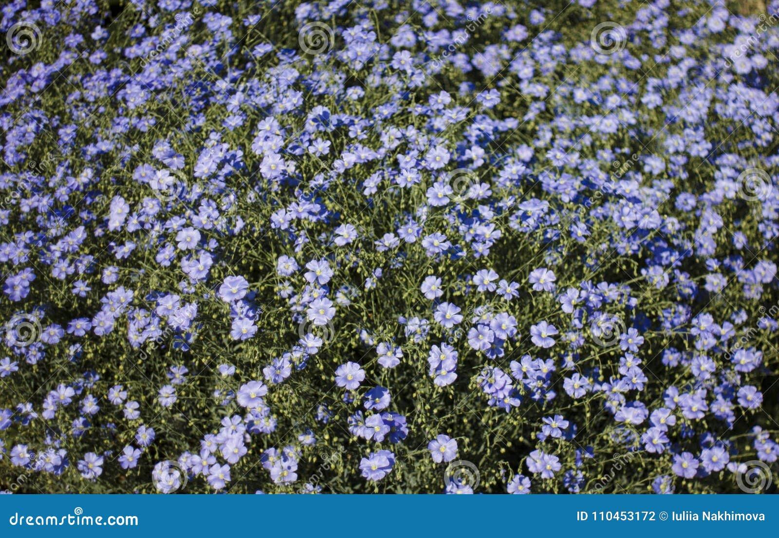 Blomsterrabatt av blåa blommor