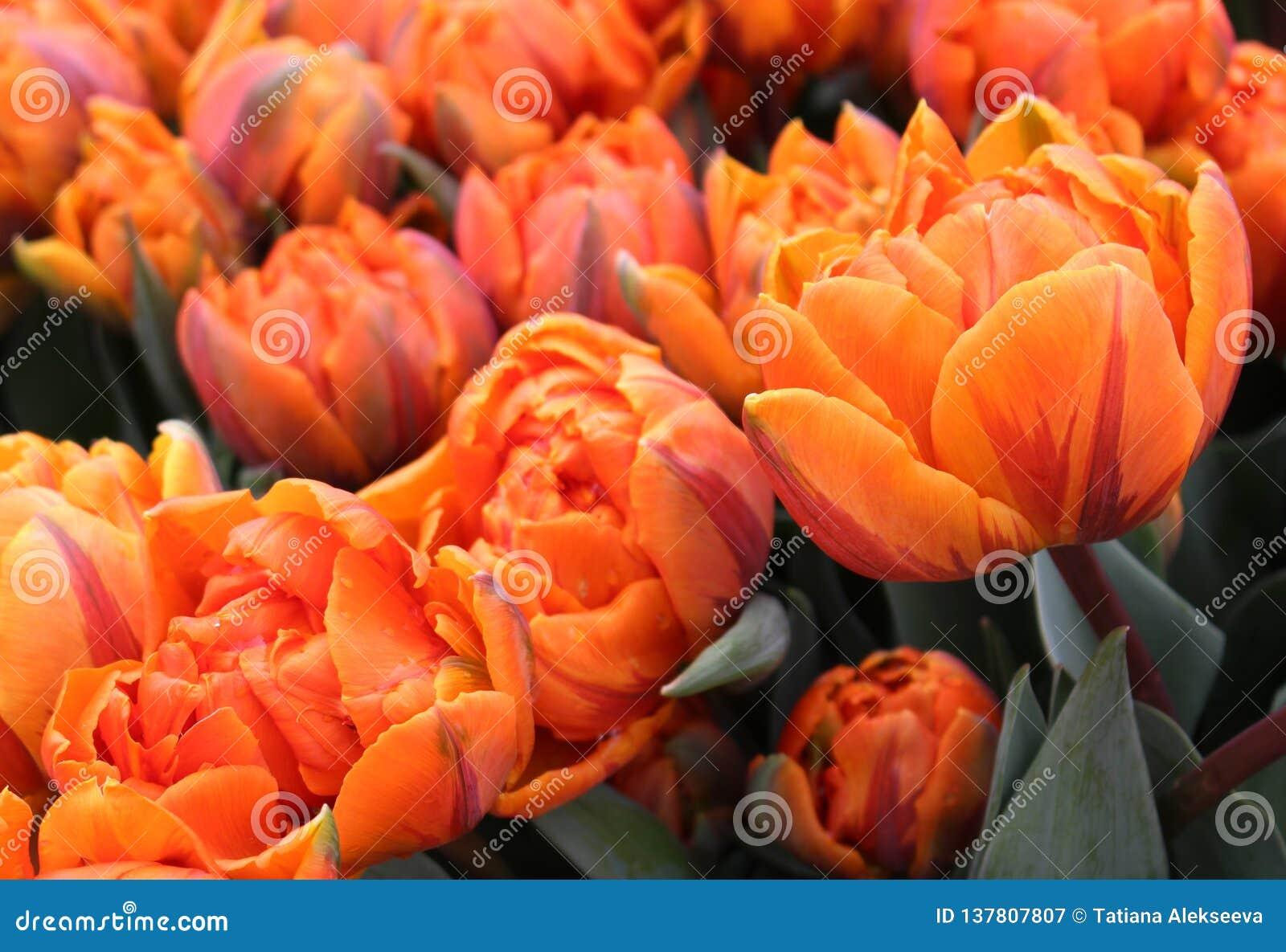 Blomsterrabatt av den orange prinsessan Double Late Tulips