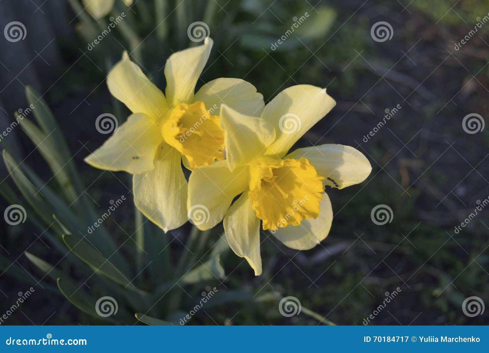 Blomsterrabatt av gula påskliljor