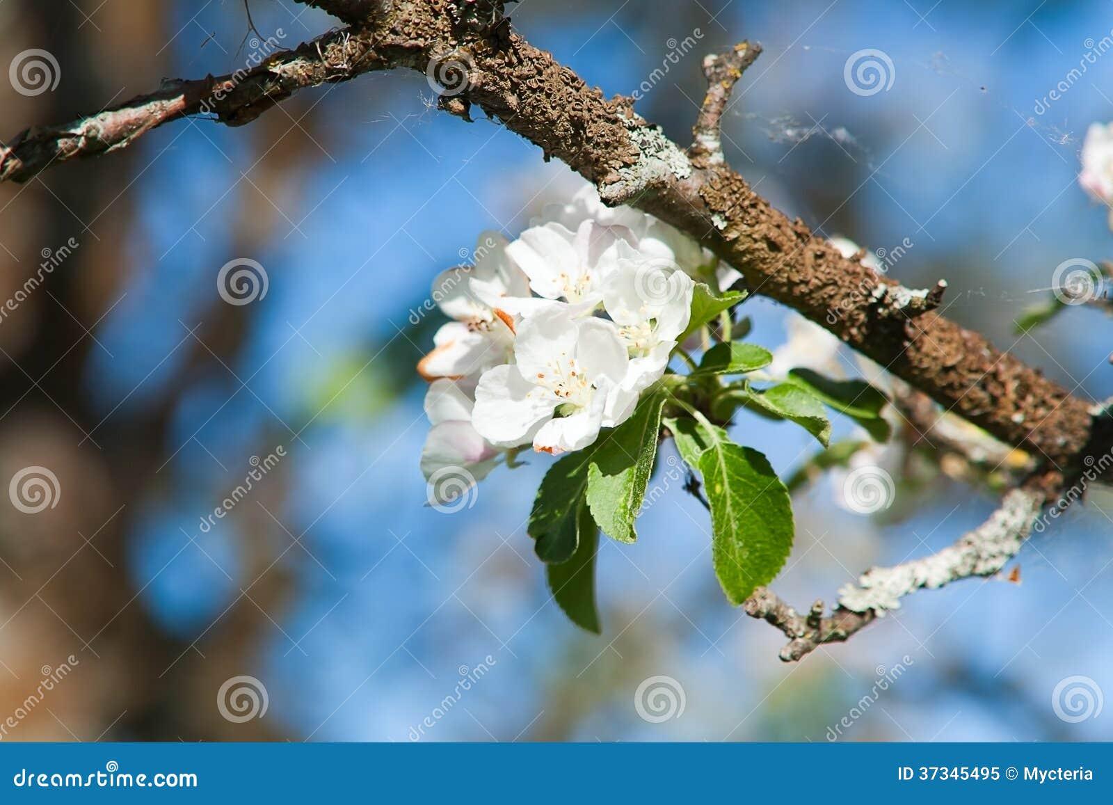Blomstra äppleträdet