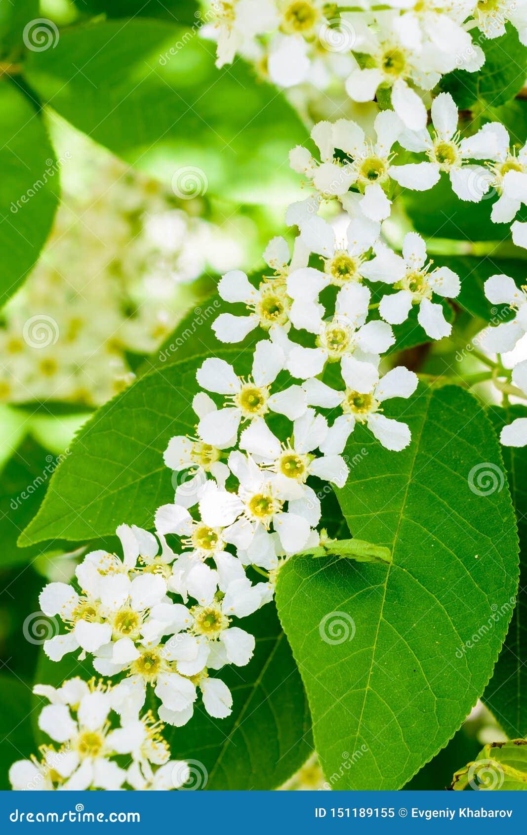 Blomstra häggPrunuspadus på det mjuka solljuset Närbild för blommahäggträd Blomma för makrofoto som är hagberry