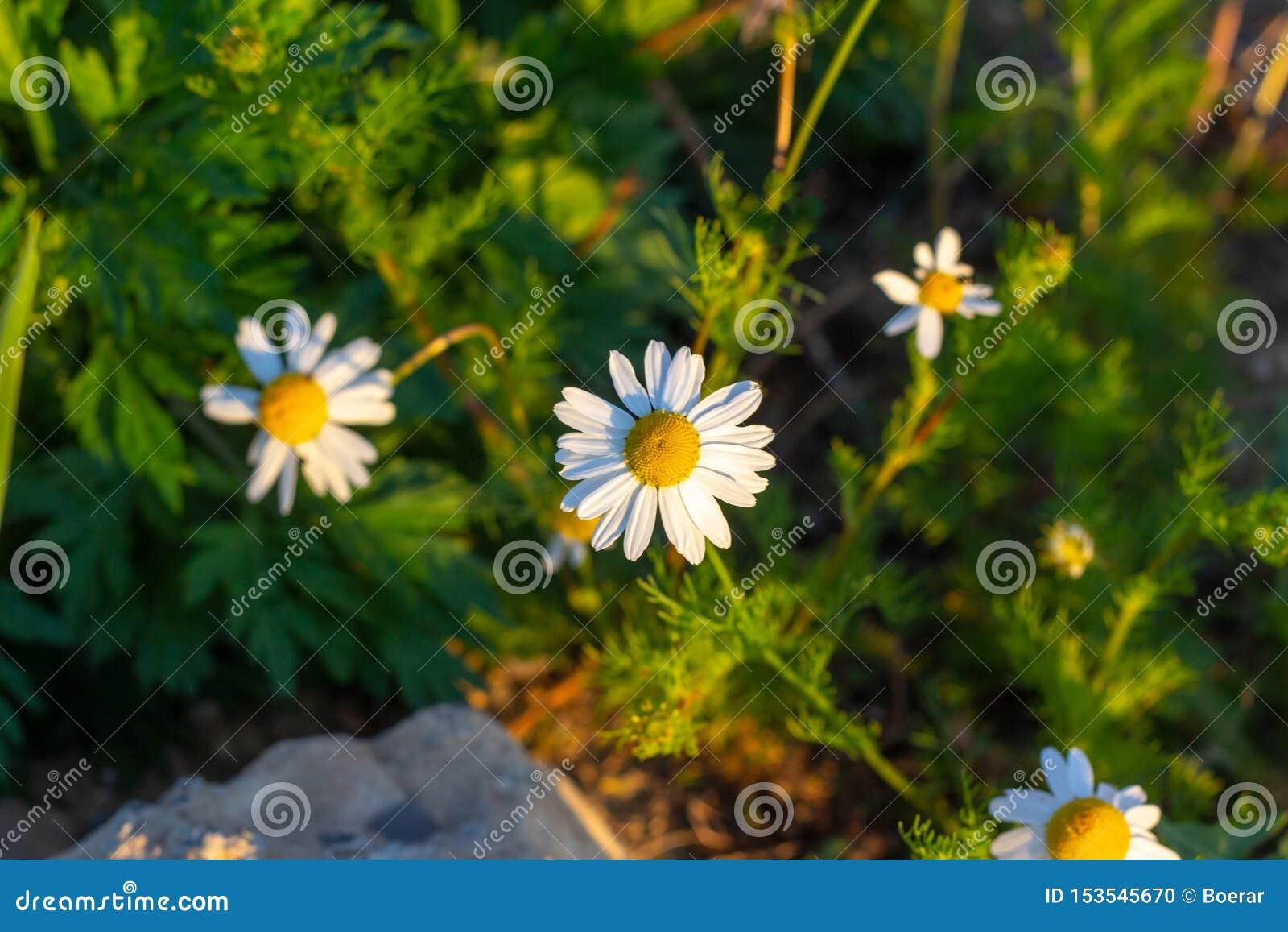 Blomstra lösa blommor för vit och gul kamomill på gröna sidor och gräsbakgrund i sommar