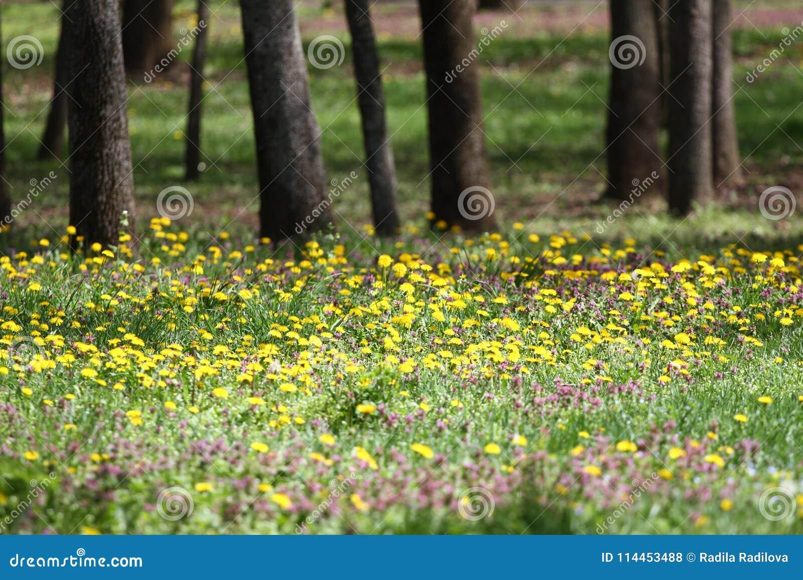 Blomstra maskrosTaraxacumfältet Gula maskrosor på grön äng i vår Härliga gula maskrosblomningar