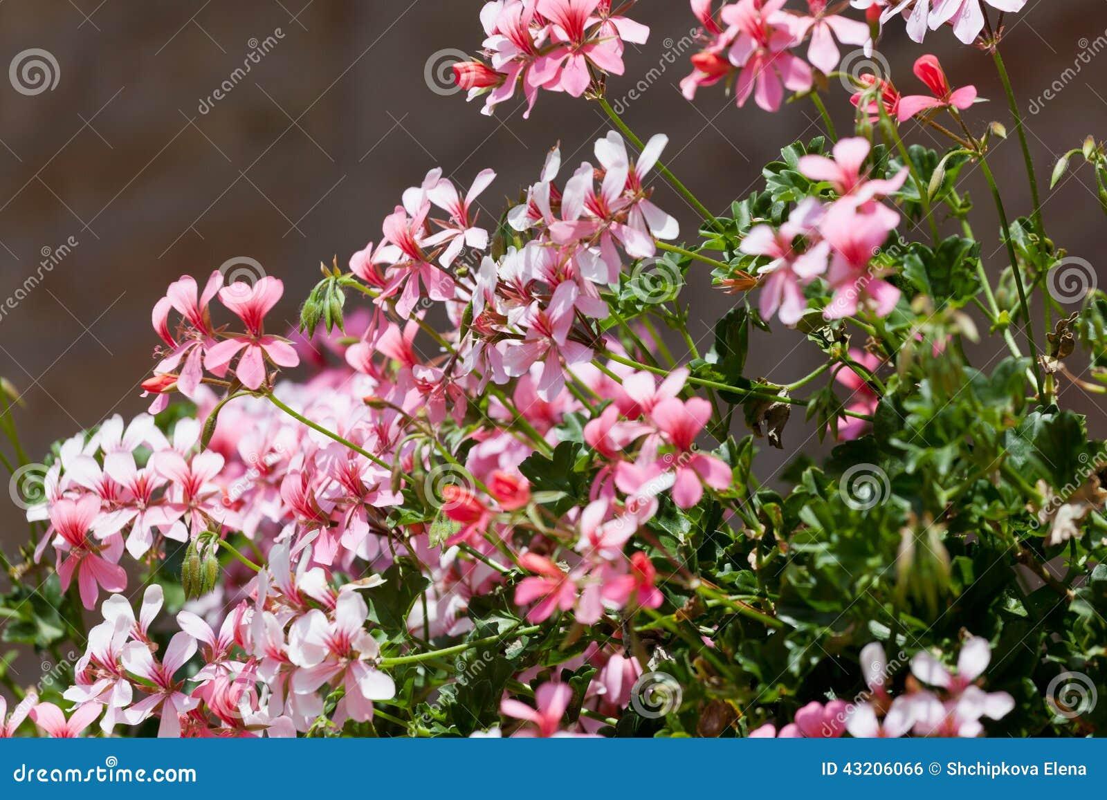 Download Blomstra pelargon arkivfoto. Bild av prydnad, natur, fönster - 43206066