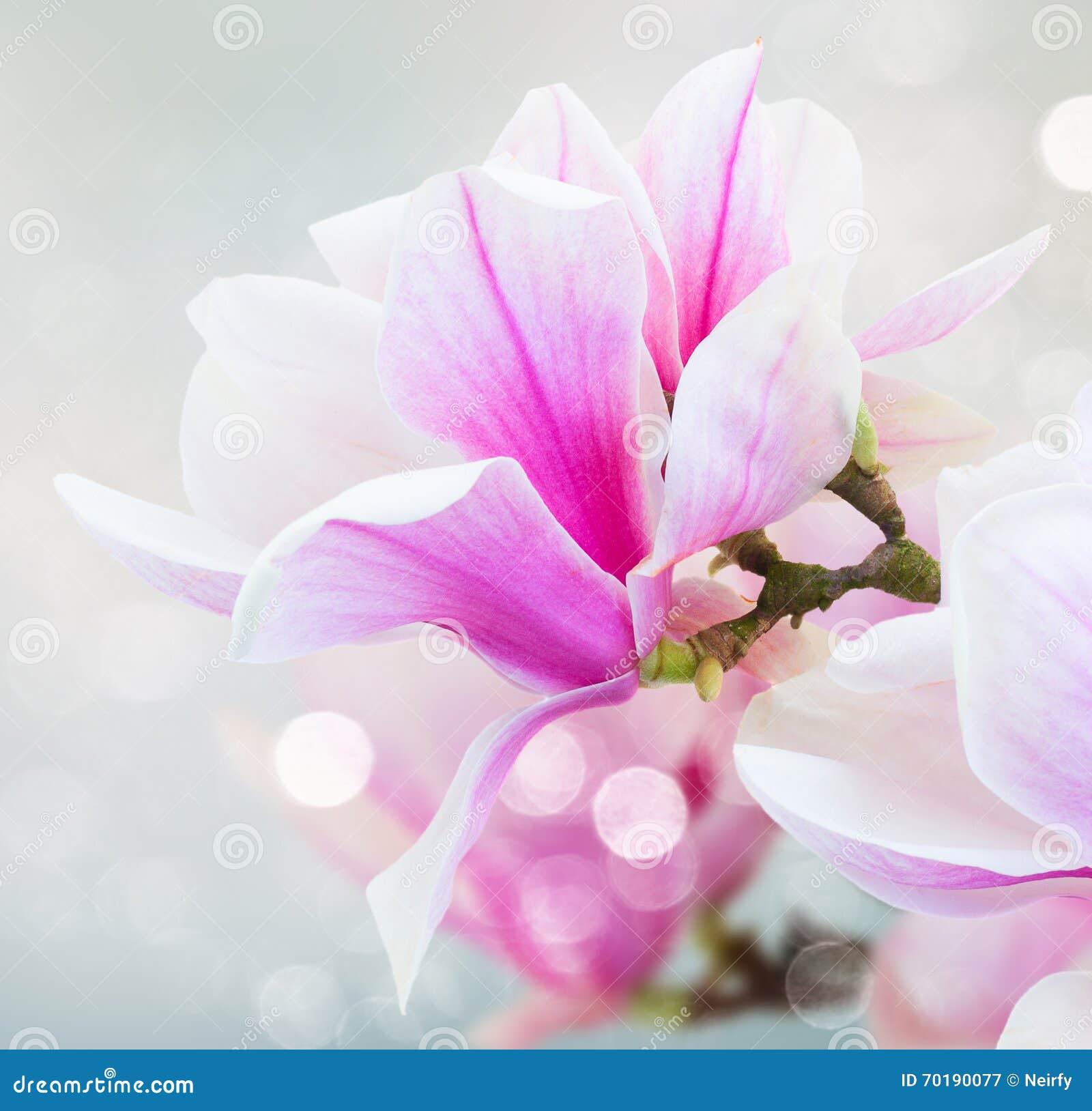 Blomstra rosa magnoliablommor