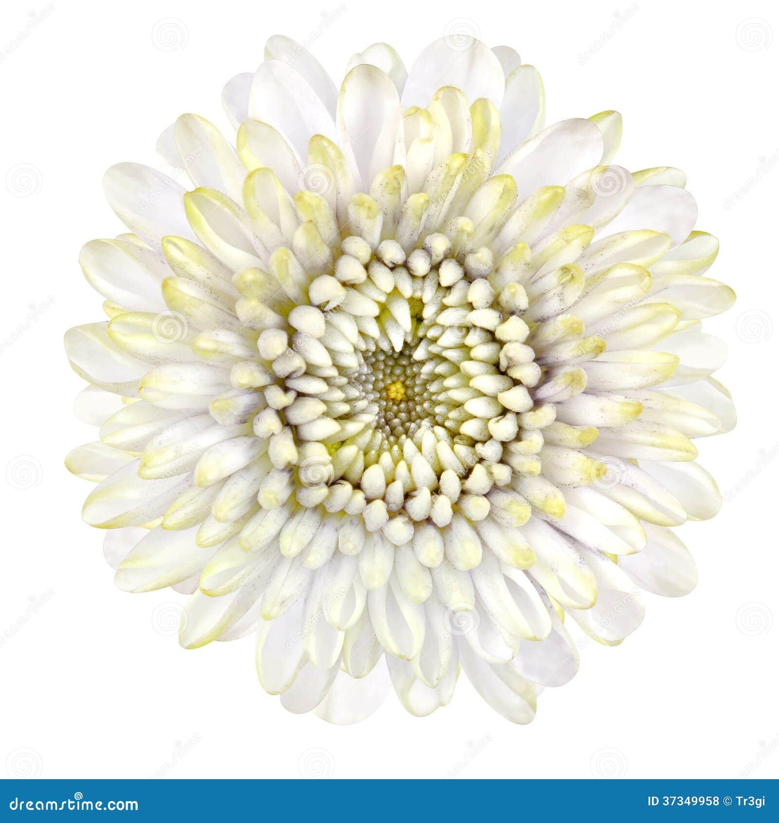 Blomstra vita Strawflower som isoleras på vit bakgrund
