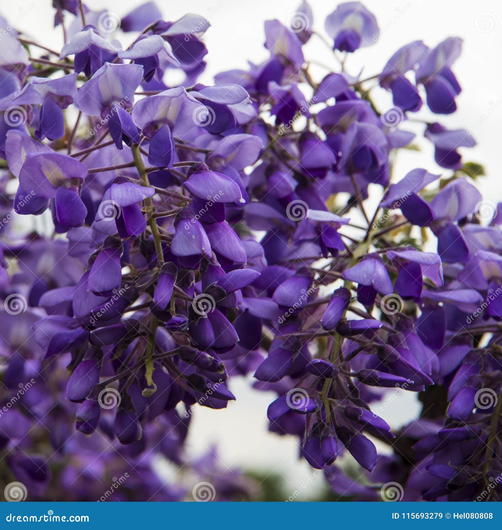 Blomstra Wisteria i vårsäsong i trädgård