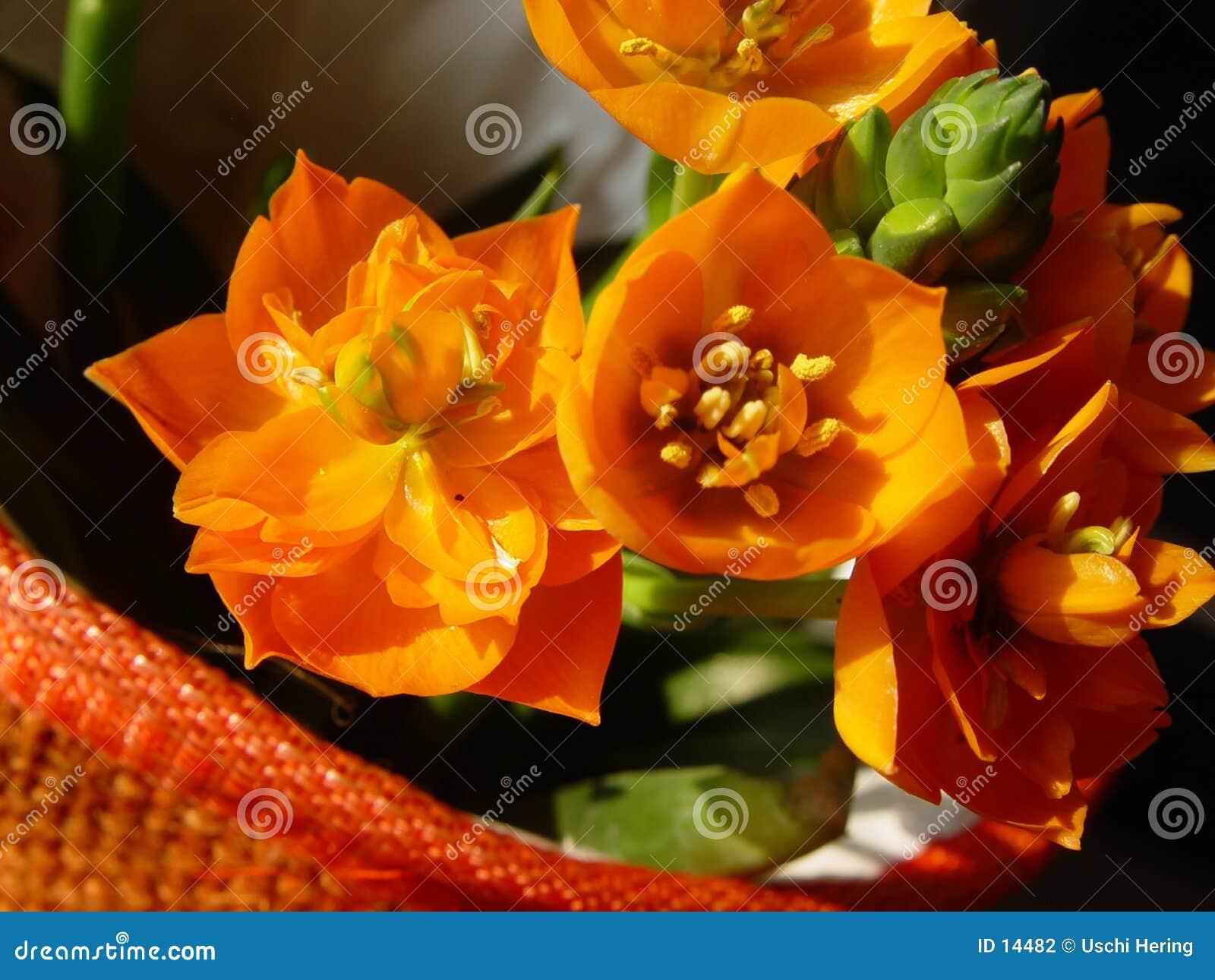 Blomstrar den orange krukan