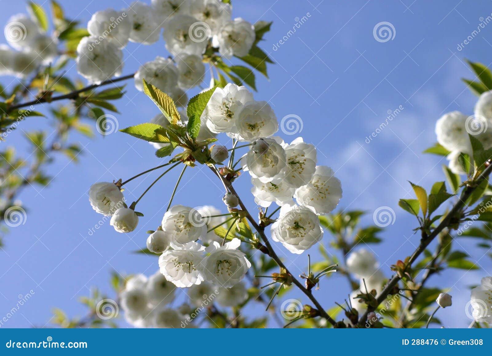 Blomstrar liten treewhite