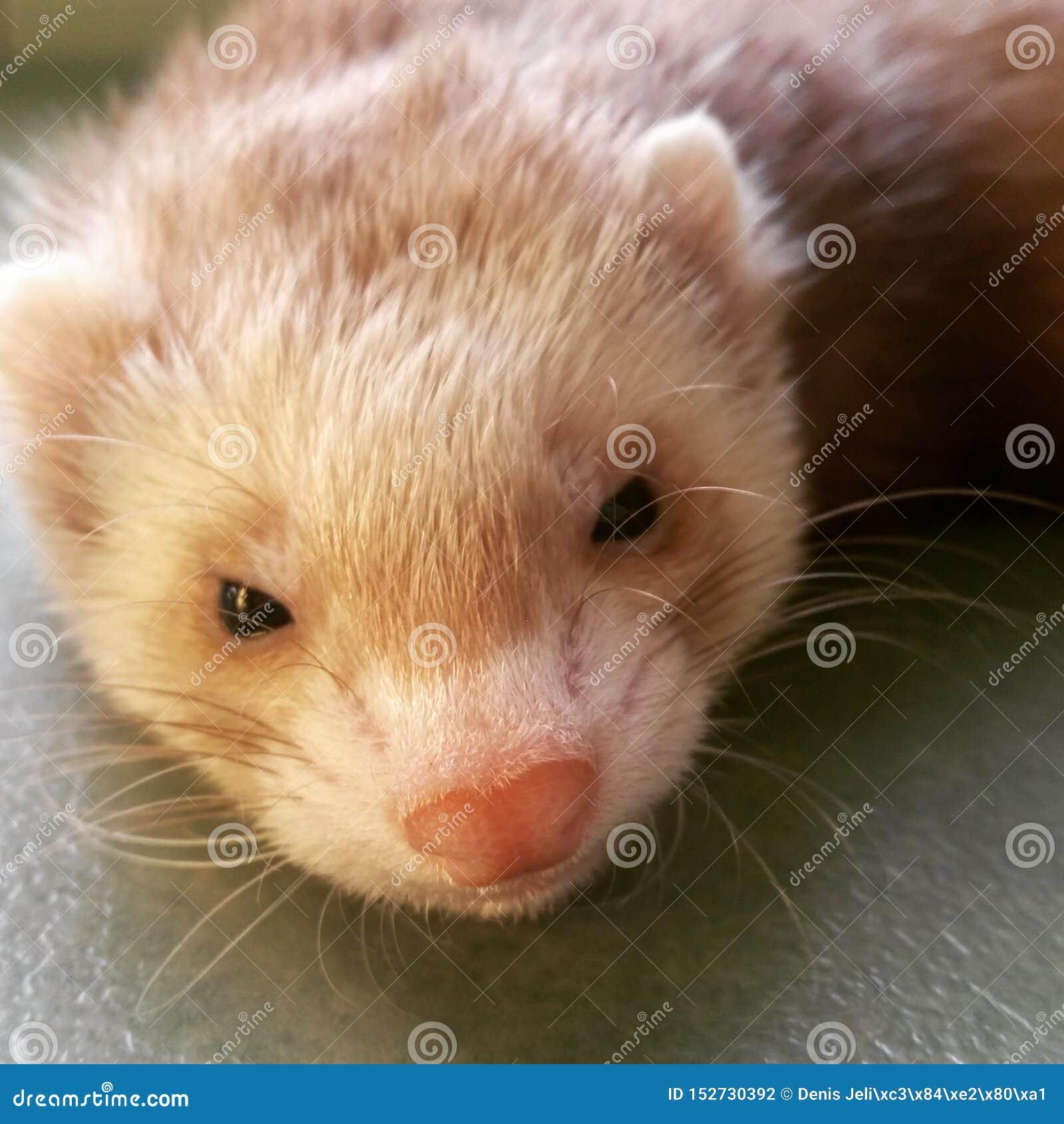 Blond fret met een snoepje weinig roze neus